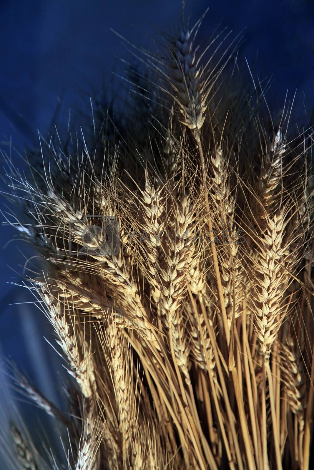 Wheat spike on a blue background