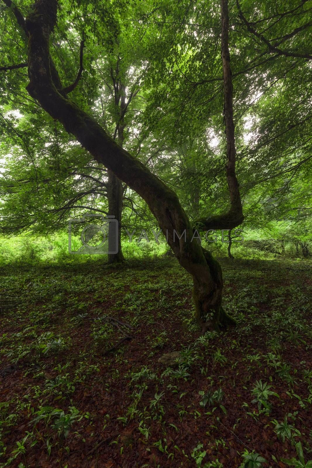 Beech with moss in a misty morning