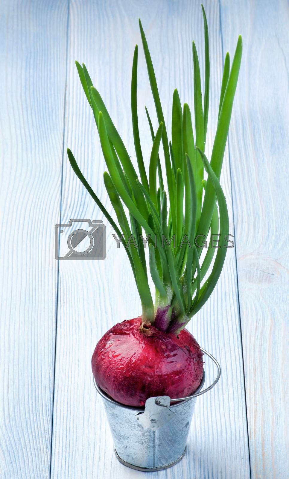 Green Sprouts of Spring Red Onion in Tin Bucket isolated on Blue Wooden background
