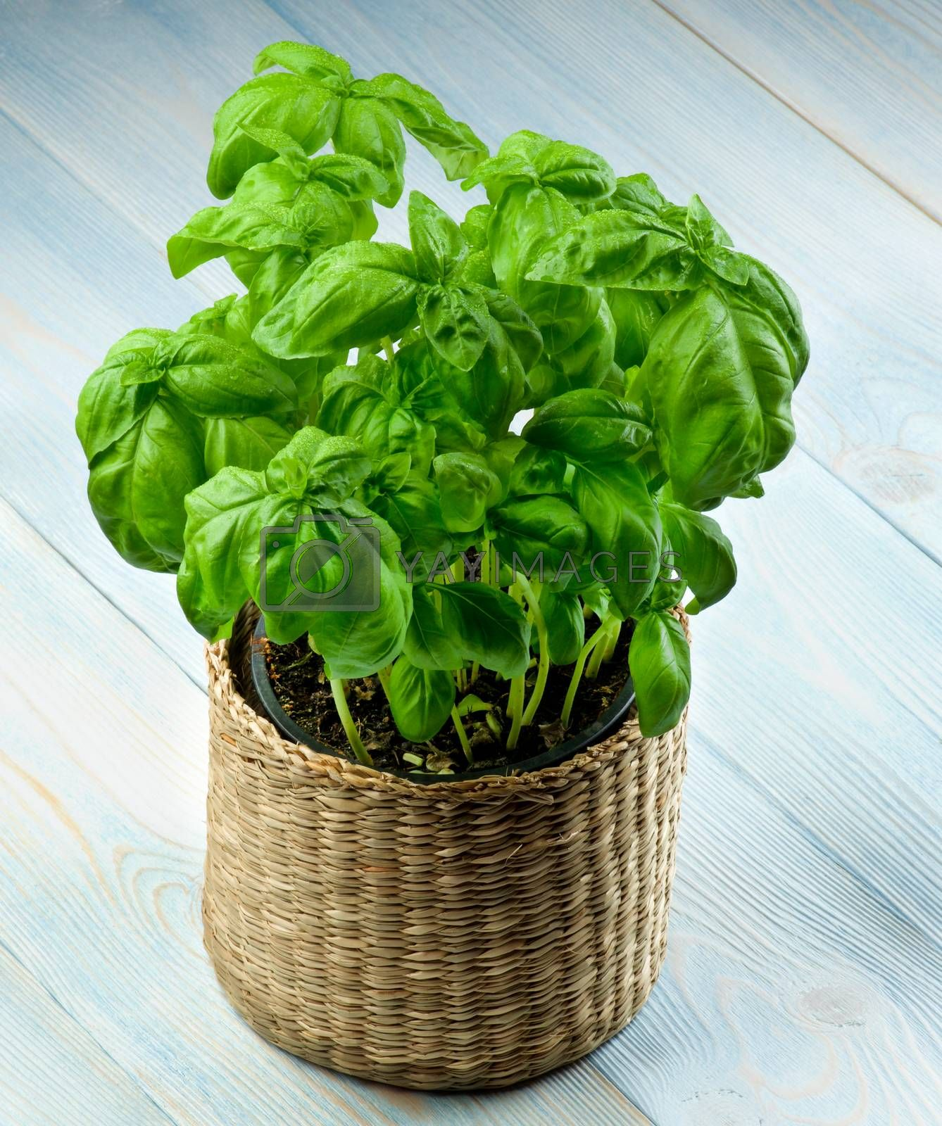 Lush Foliage Fresh Green Basil with Water Drops in Wicker Flower Pot closeup on Wooden background