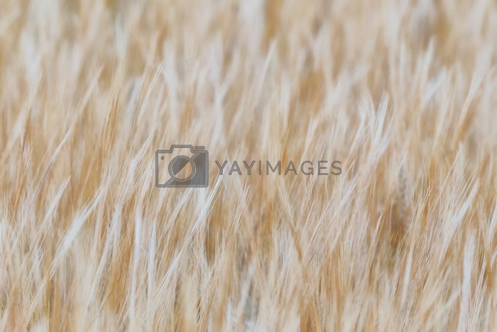 Barley texture by aruizhu