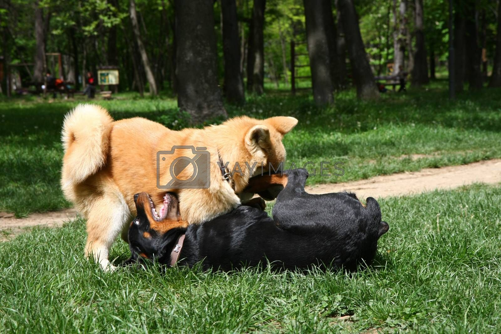 Rottweiler and Akita Inu puppies playing in public park