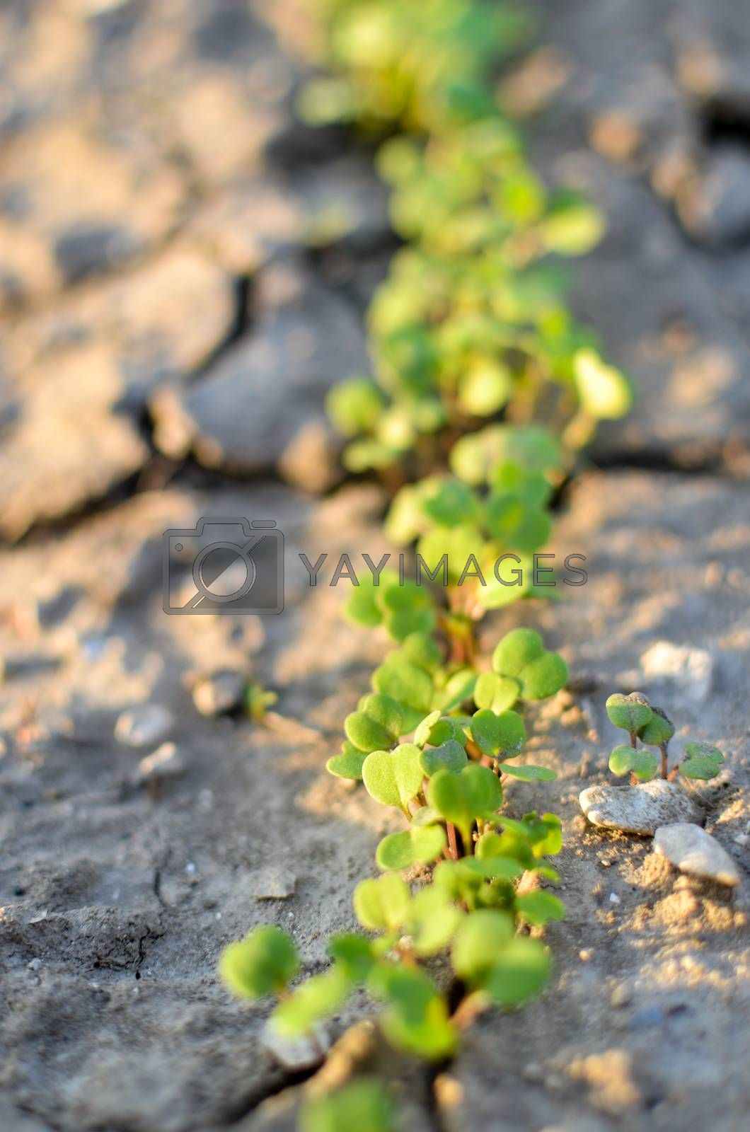 Fresh green baby leaves salad lettuce growing in the field
