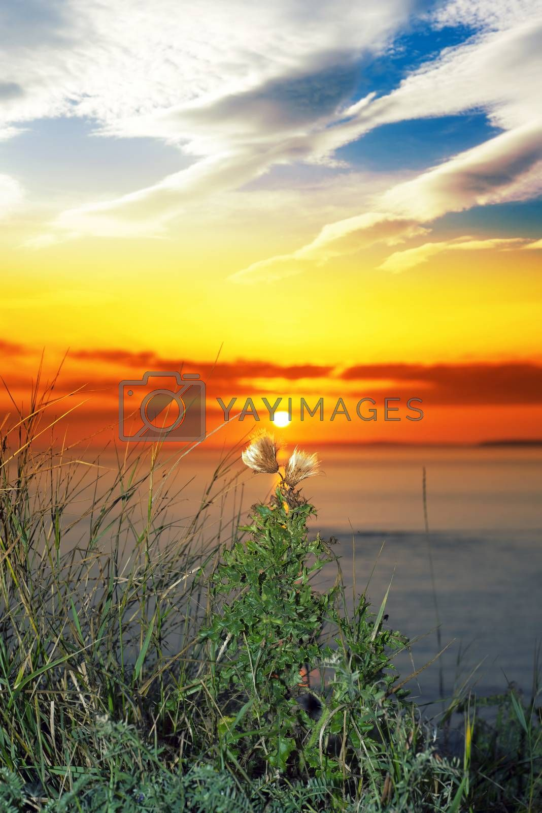 beautiful yellow sunset over loop head with the wild tall thistles on the wild atlantic way in ireland