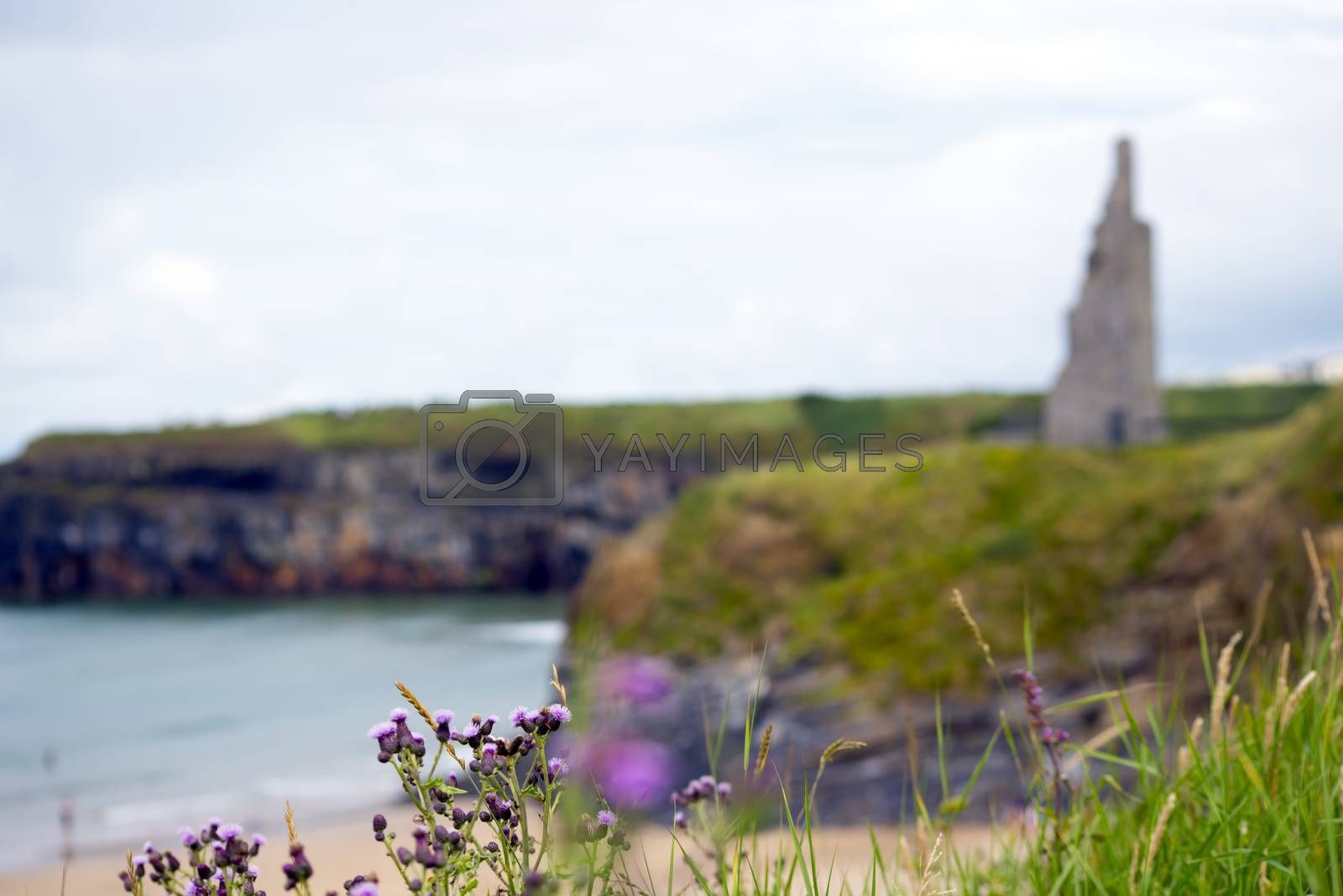 scenic view with thistle at beach cliffs and castle of ballybunion beach county kerry ireland