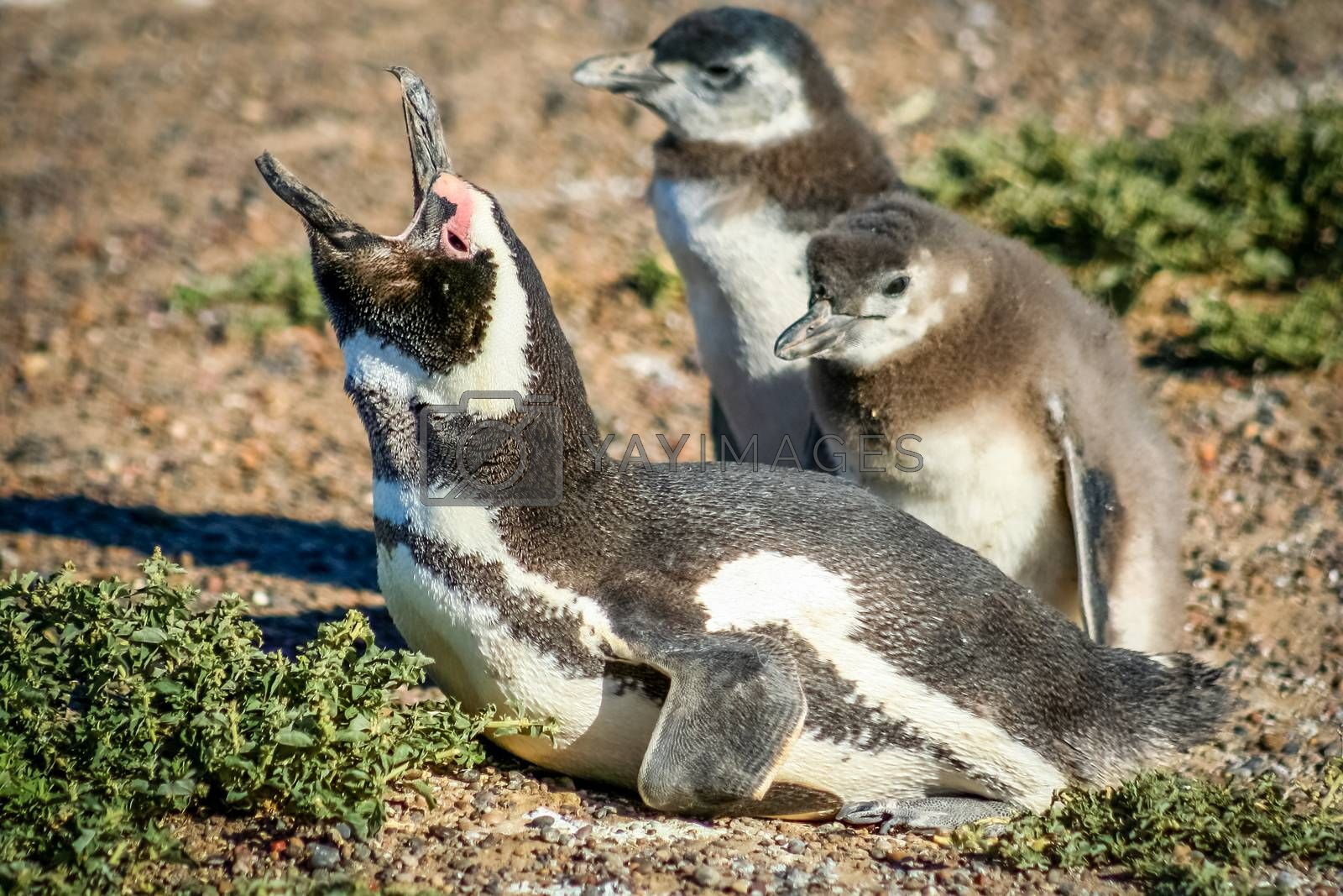 Magellanic penguins at Punta Tombo in Patagonia, Argentina