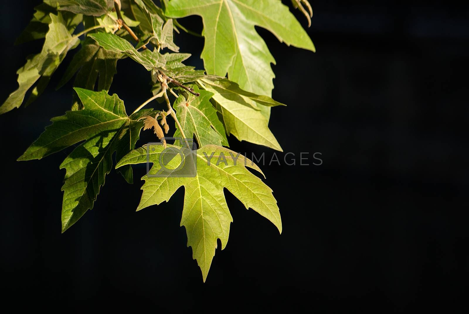The spring leaves on a dark background