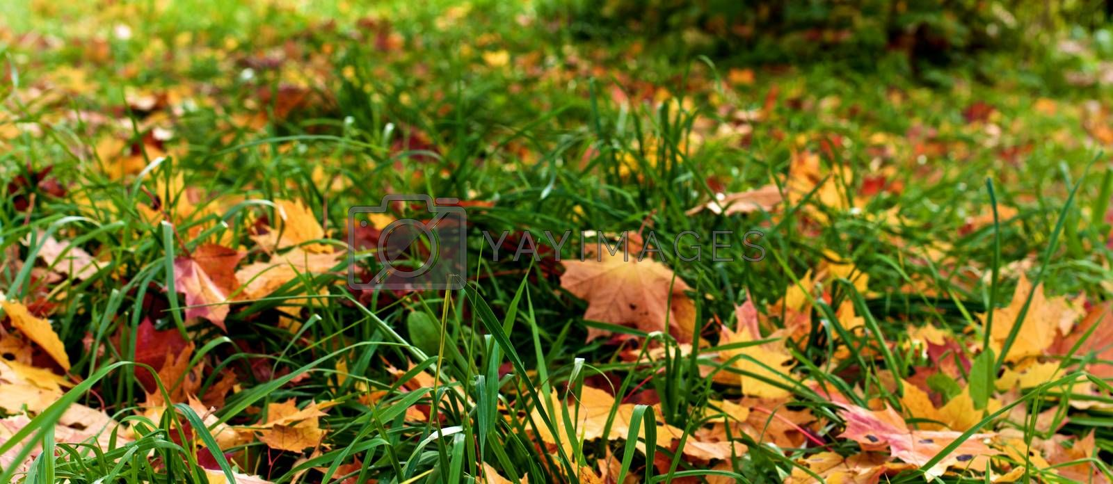 Royalty free image of Maple Leafs in Grass by zhekos