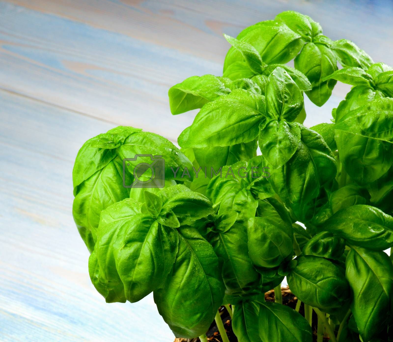 Perfect Lush Foliage Fresh Green Basil  with Water Drops Cross Section on Blue Wooden background
