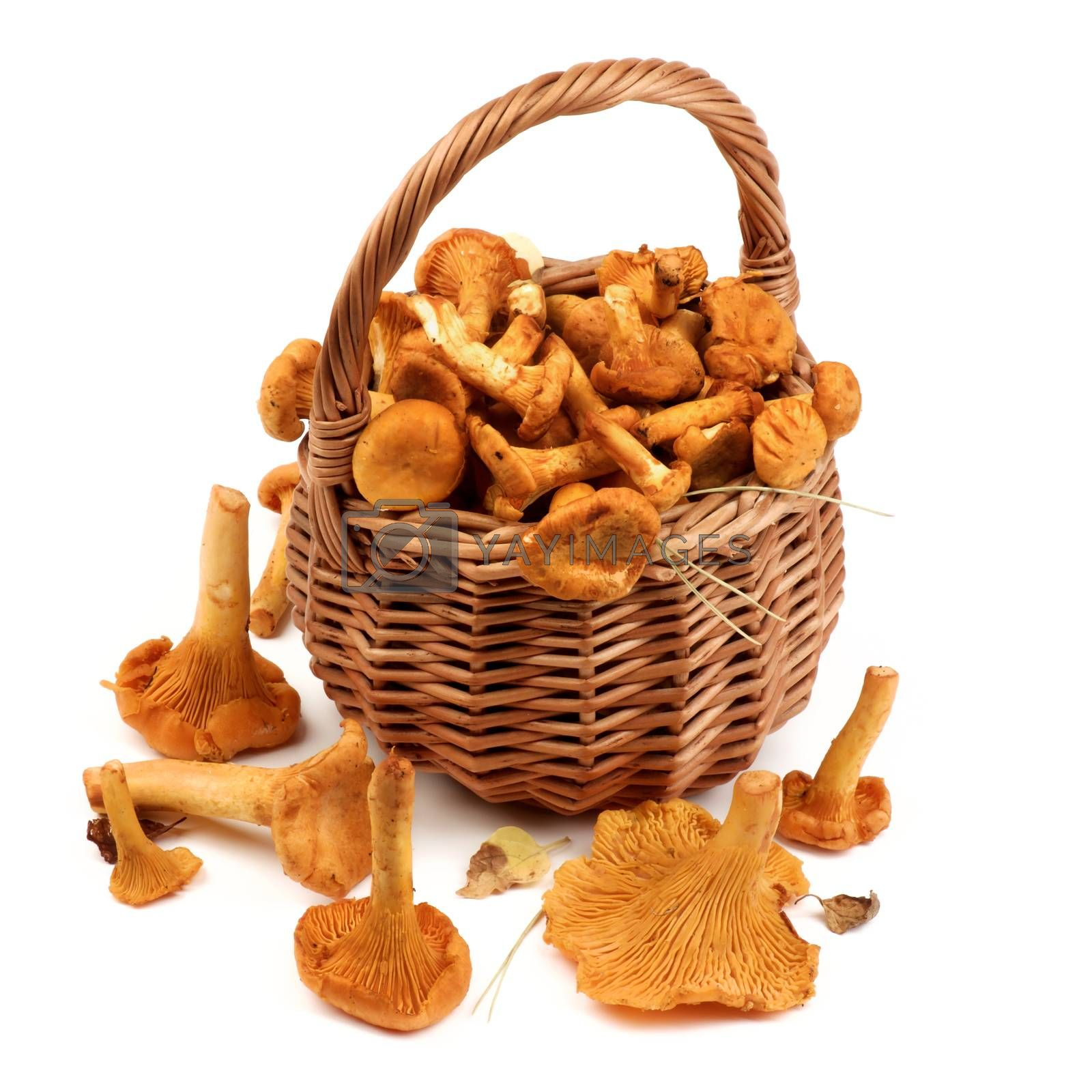Arrangement of Raw Chanterelles with Dry Leafs and Stems in Wicker Basket closeup on White background