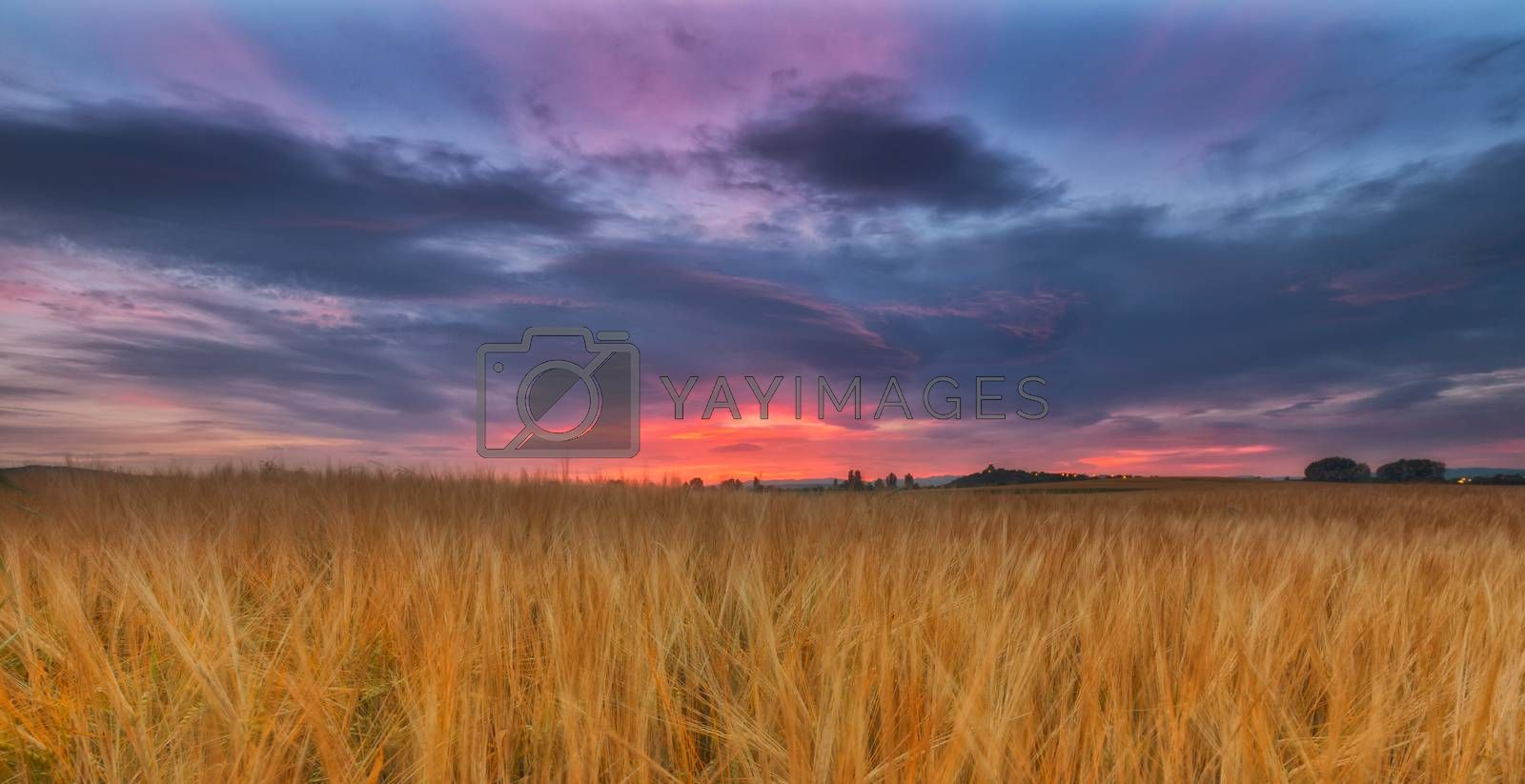 Yellow cereal field under a cloudy sunrise
