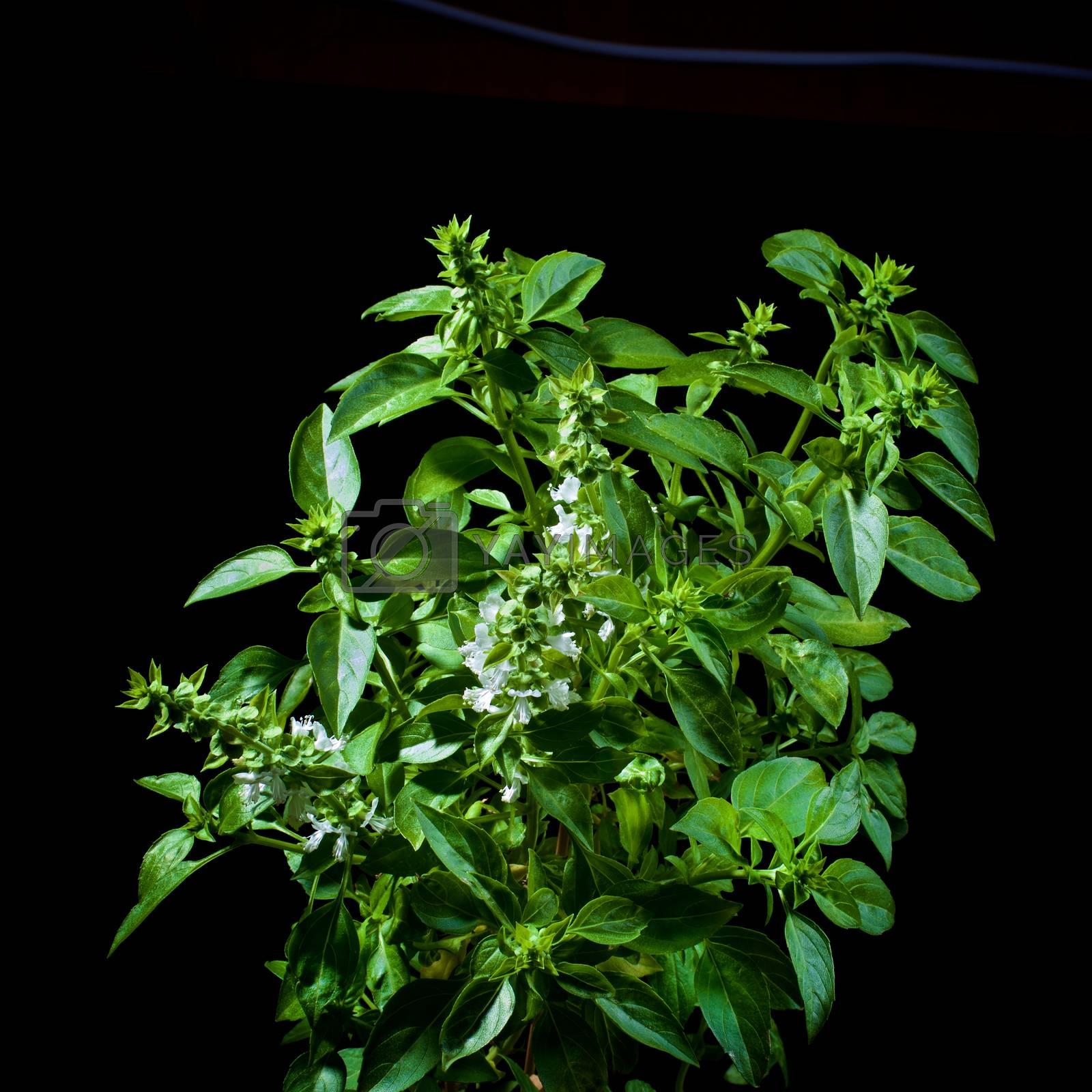 Fresh Blooming Green Lush Foliage Basil isolated on Black background