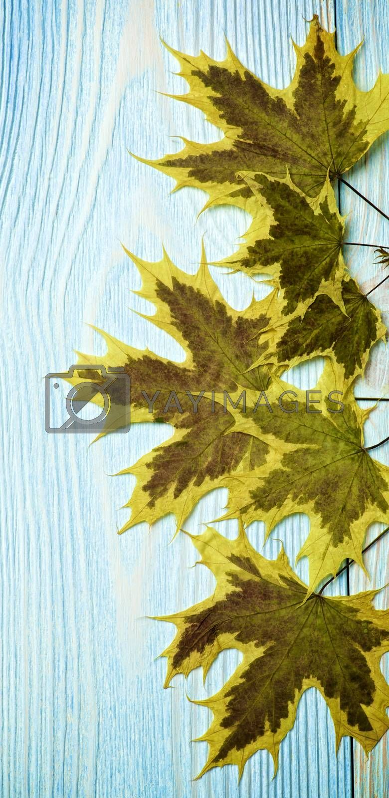 Border of Yellow Green Brittle and Dry Maple Leafs closeup on Blue Wooden background