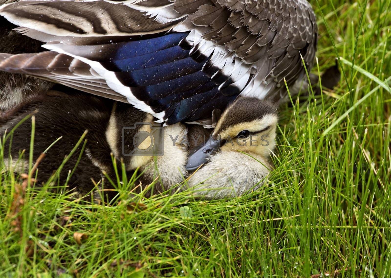 Mother Duck and Babies hidden in Saskatchewan Canada