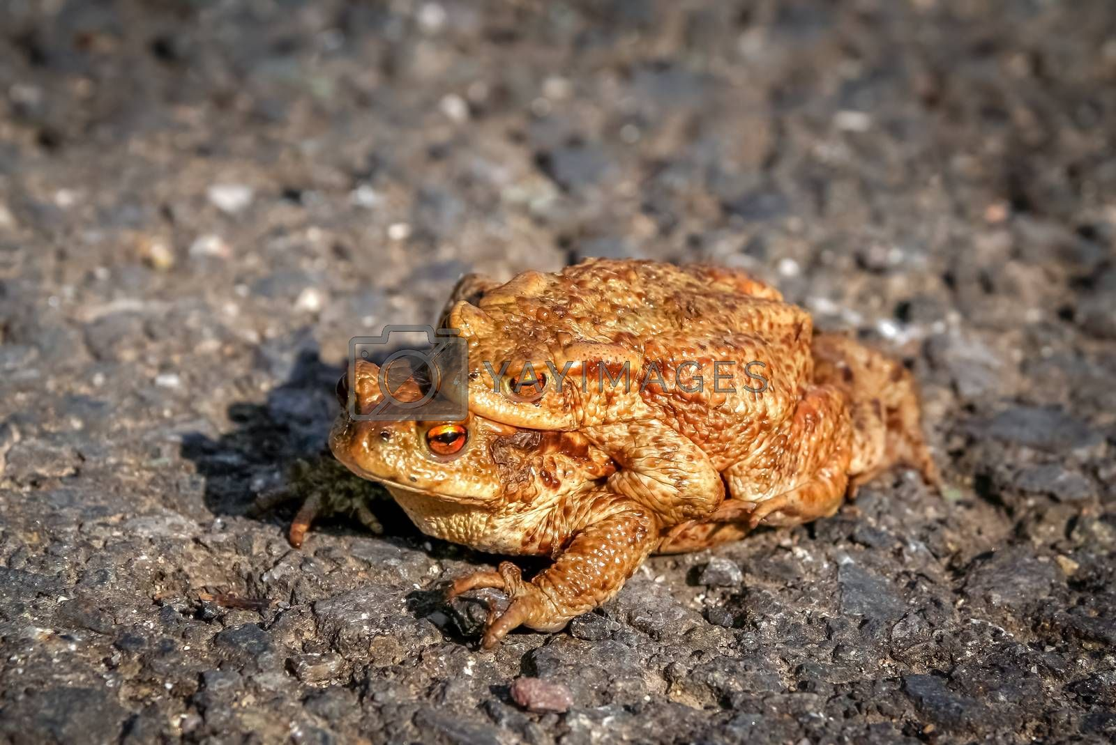 Frogs having sex in the mating season
