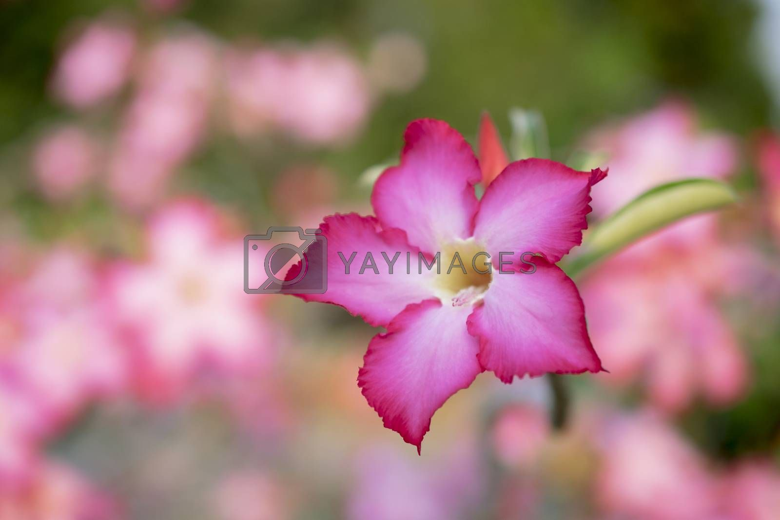 pink colour flower for background