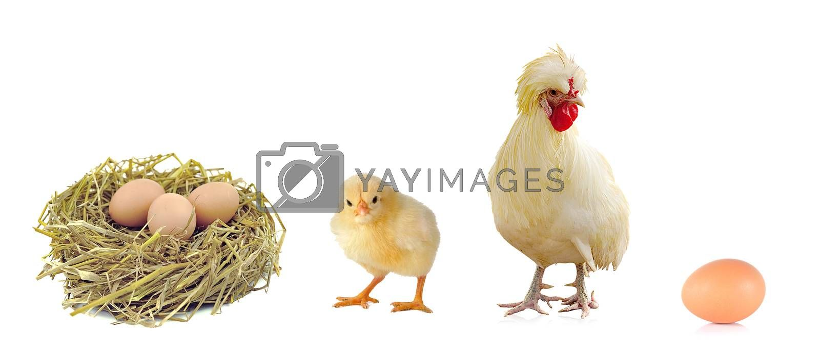 chicken and eggs isolated on white background.