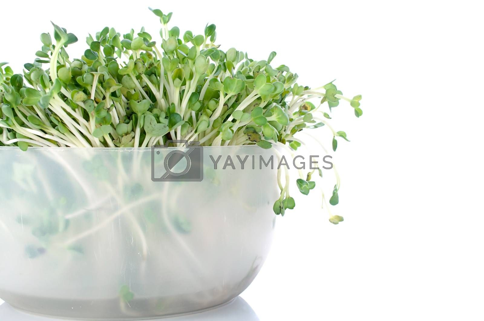sprout isolated on white background