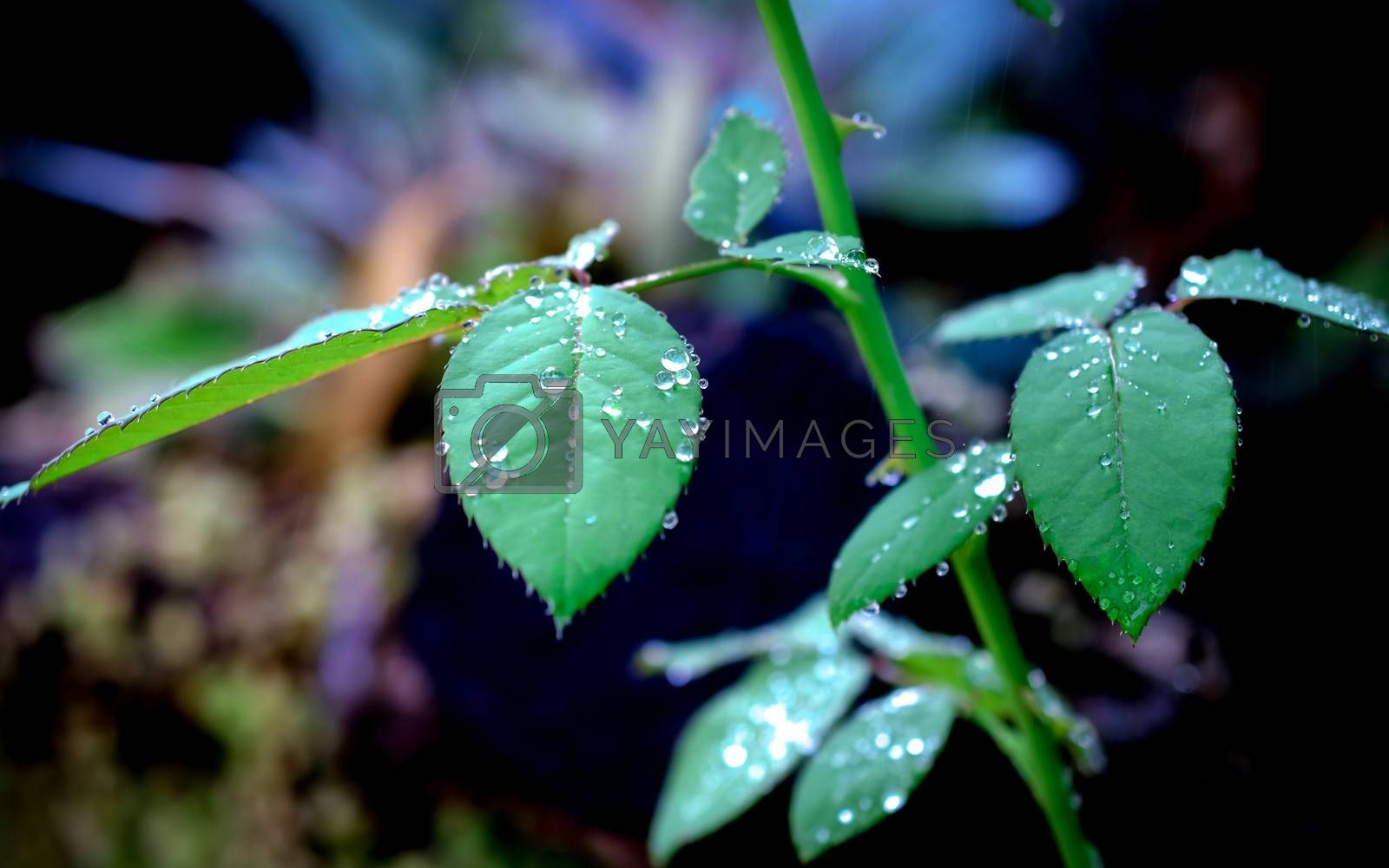 water drops on rose leaves in fresh garden.