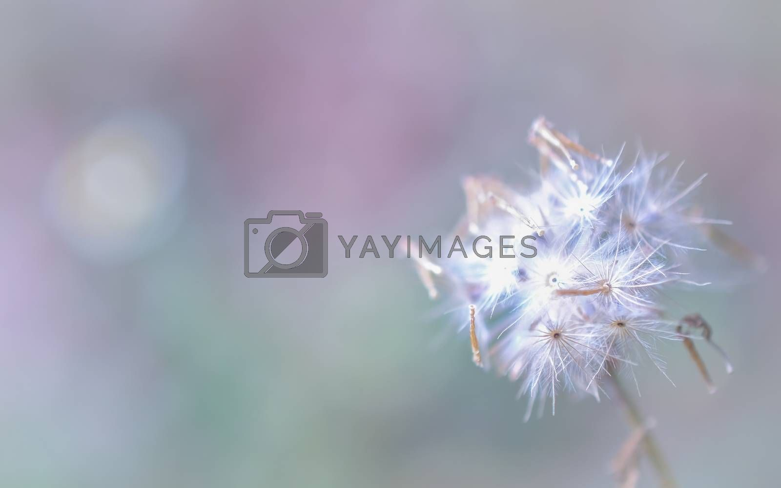 dandelion close up for background. by gukgui