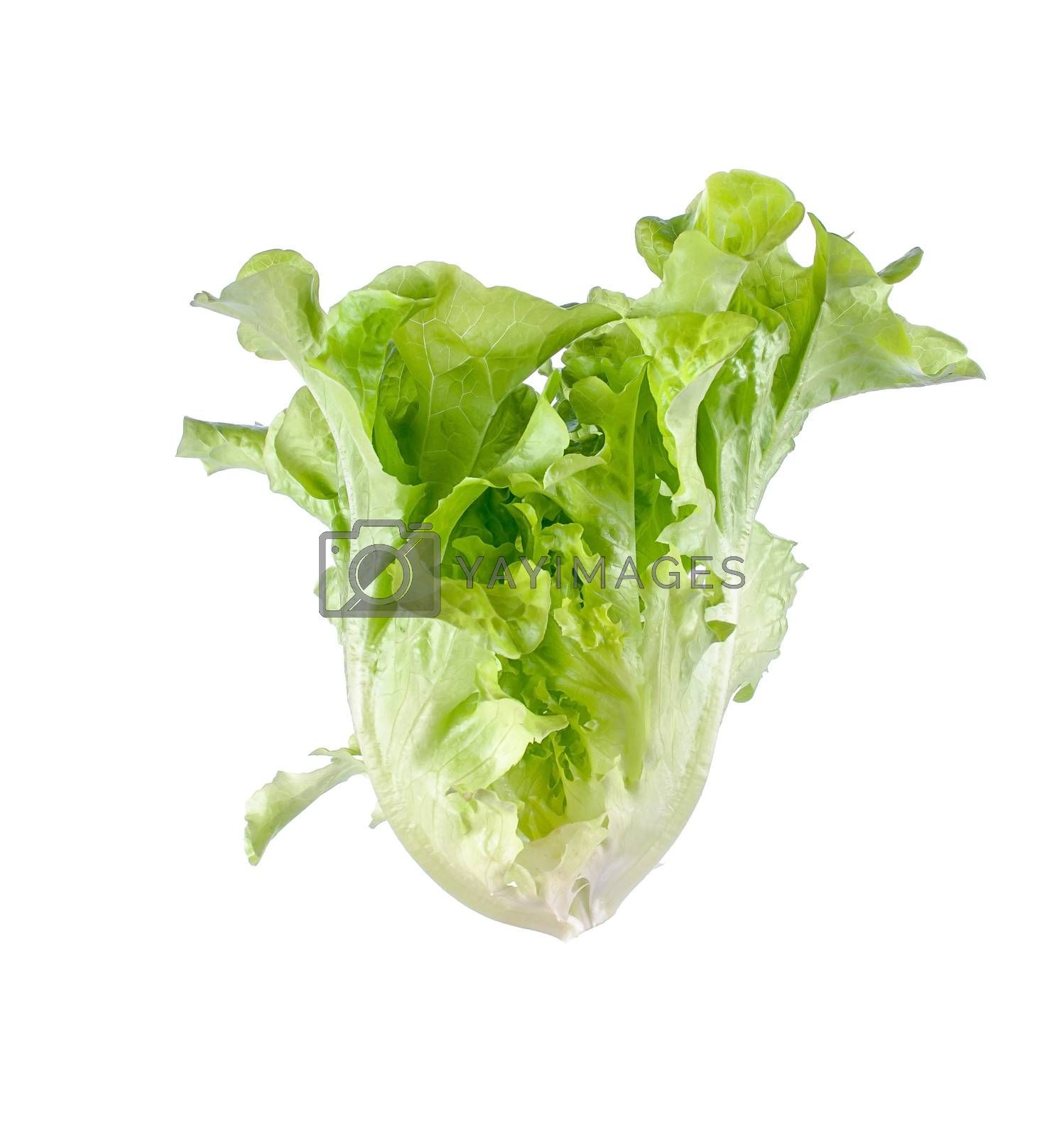 leaf lettuce close up on white.
