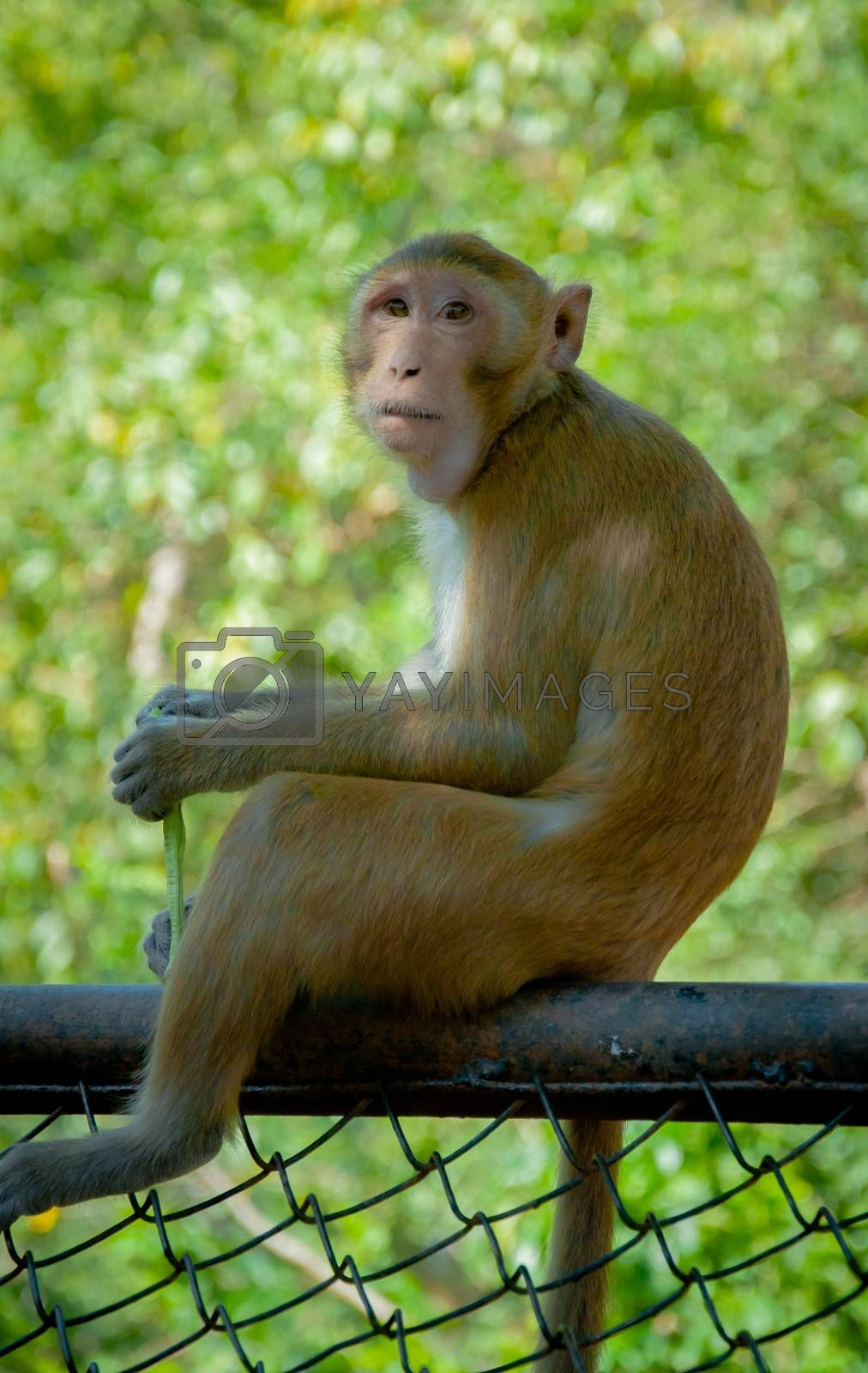 monkey sitting on fence for background. by gukgui