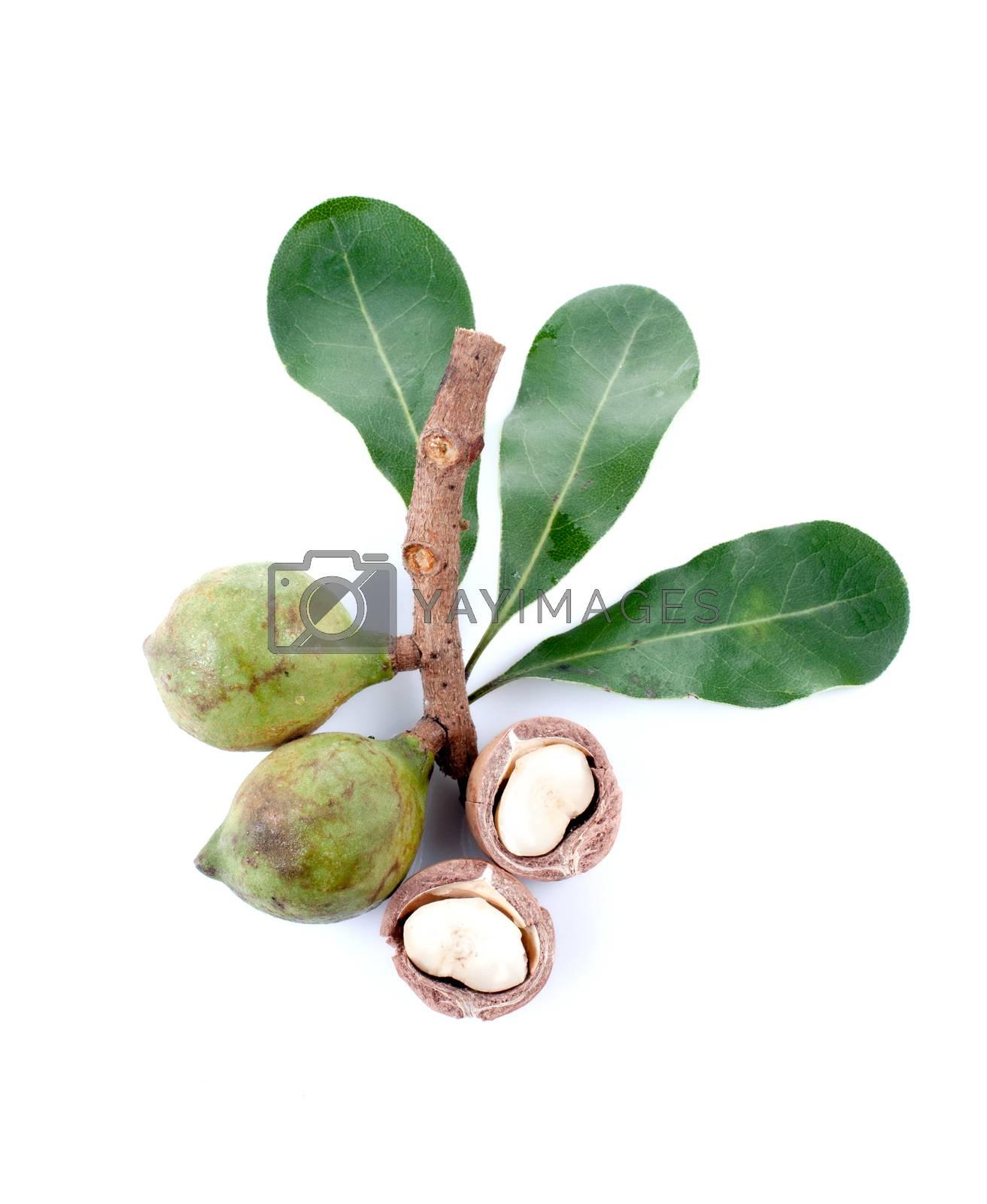 Macadamia nut isolated on white background.