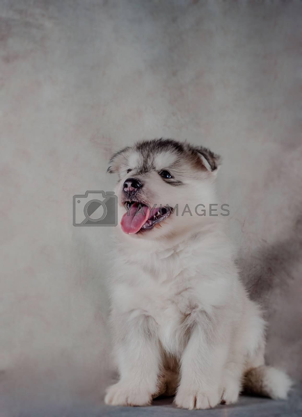 Siberian husky puppy on background