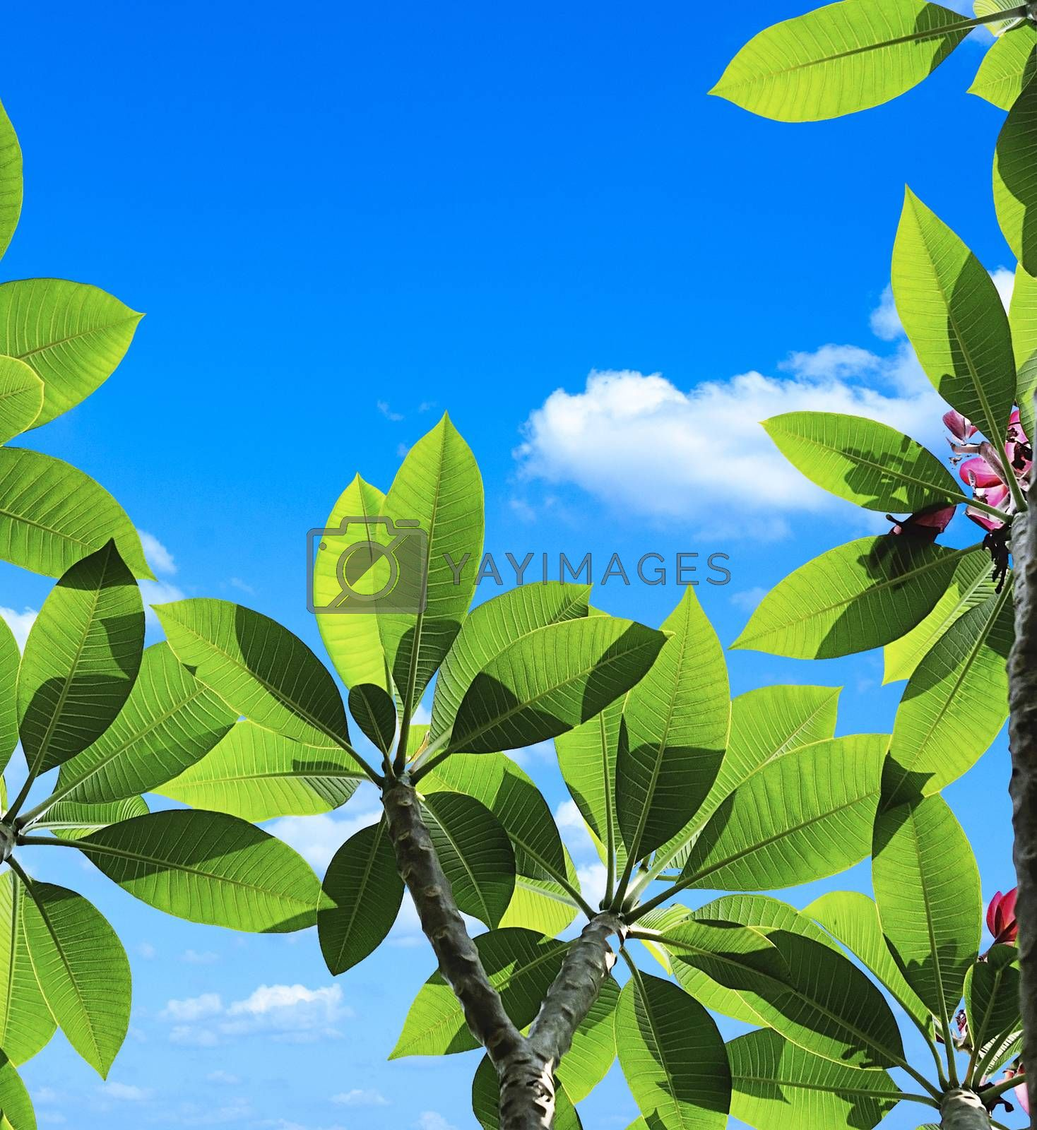 Plumeria close up isolated  on sky clouds texture