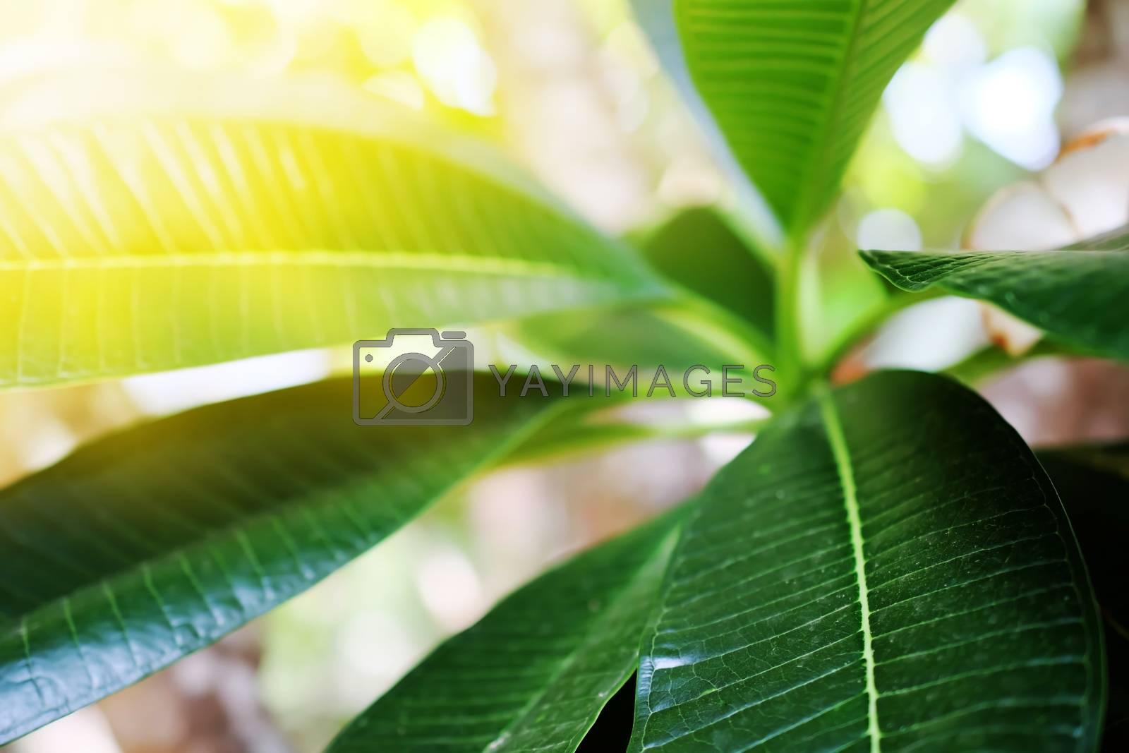 Plumeria close up isolated on background
