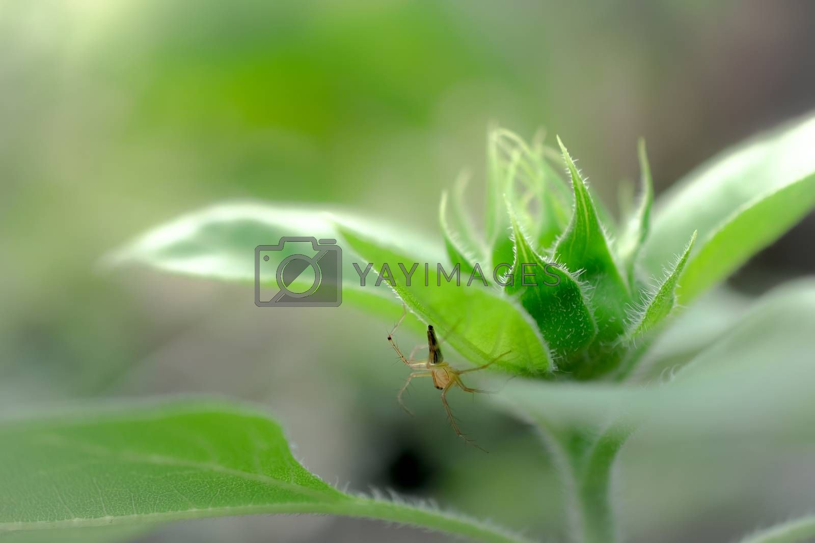 Sunflower sprout isolated on background