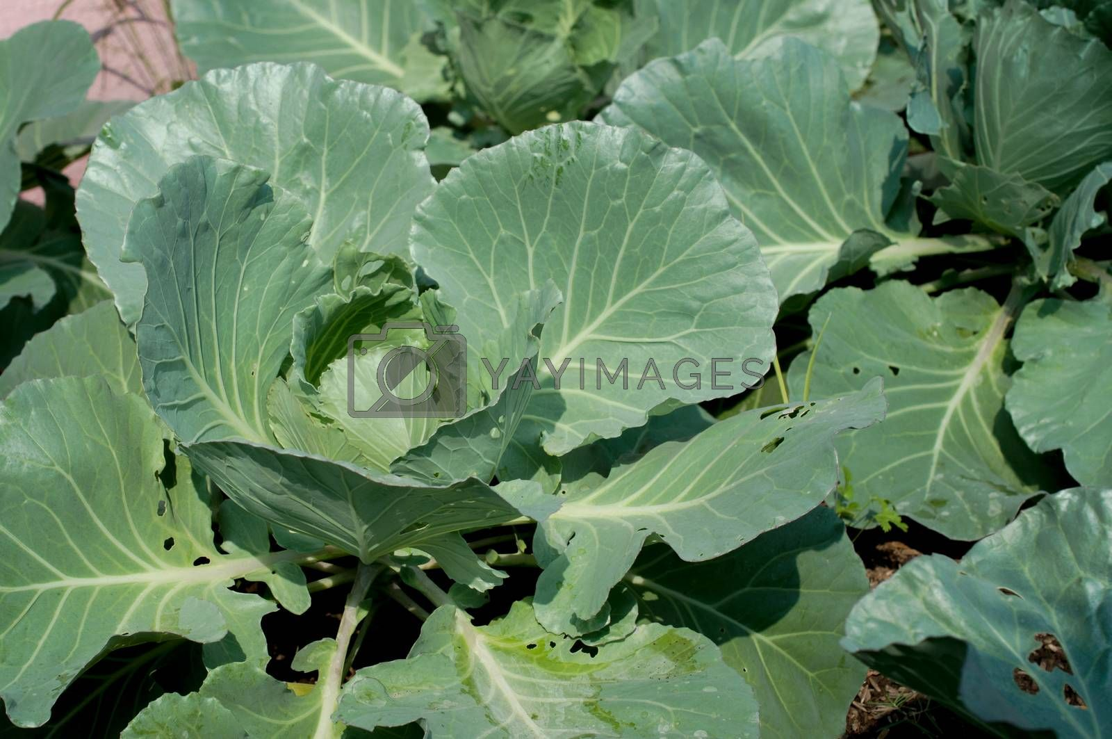 cabbages close up isolated on white background.