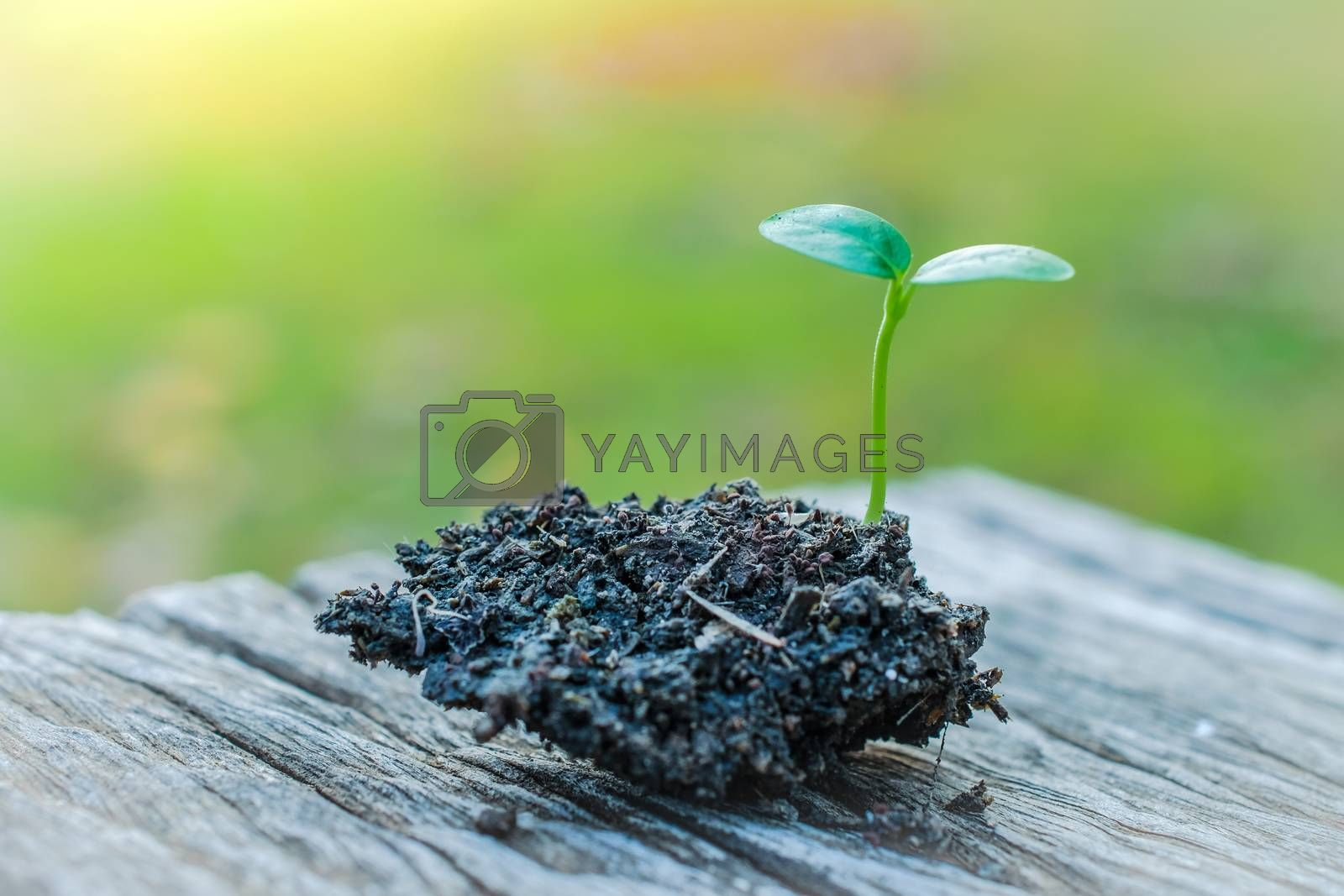 Sunflower sprout close up background