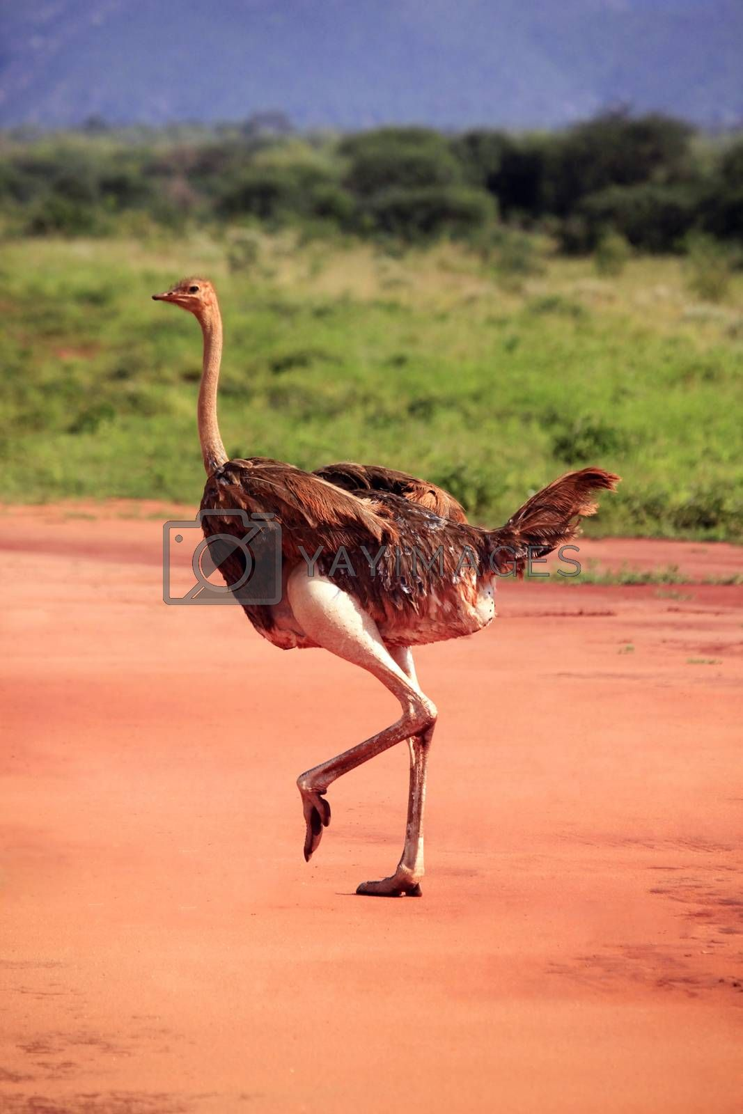 Ostrich in Tsavo East National Park by friday