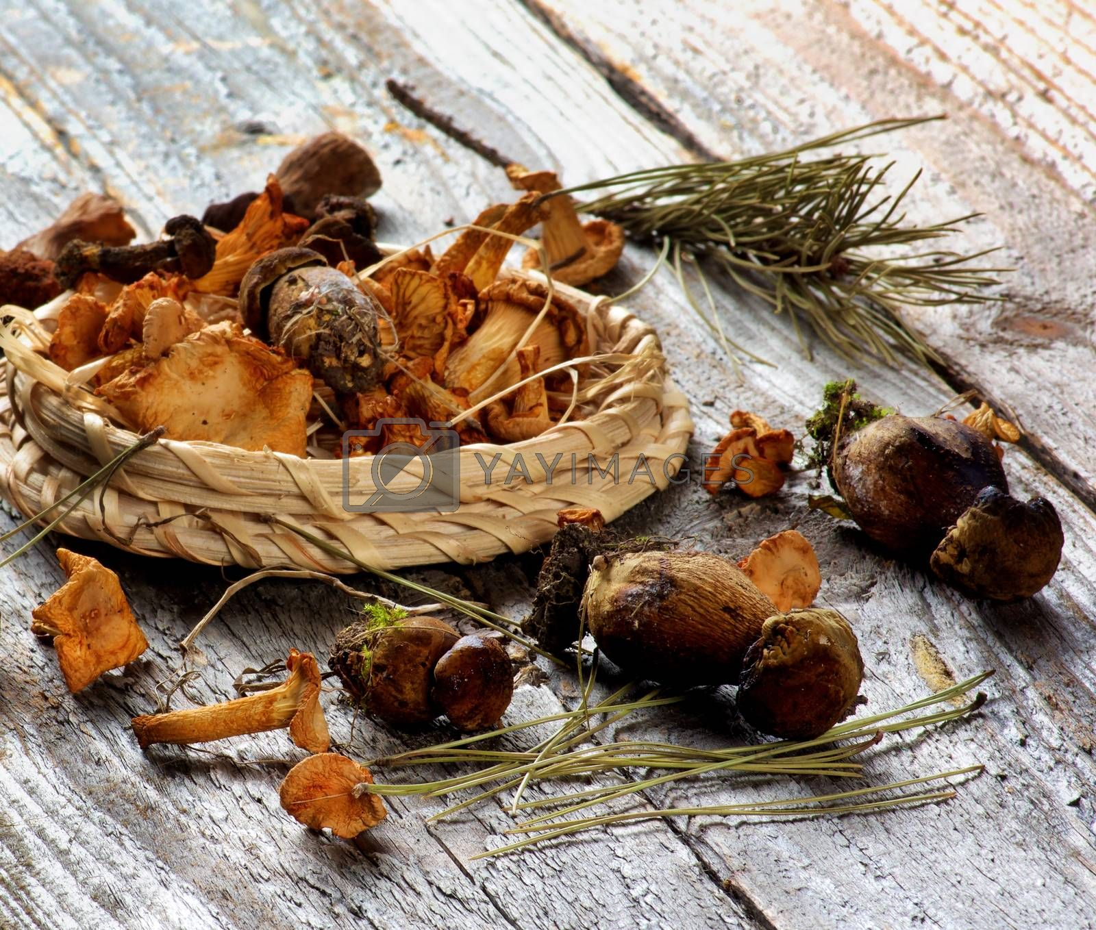 Forest Dried Mushrooms with Chanterelles, Porcini, Boletus Mushrooms in Wicker Plate with Pine Branches closeup Rustic Wooden background. Focus on Foreground