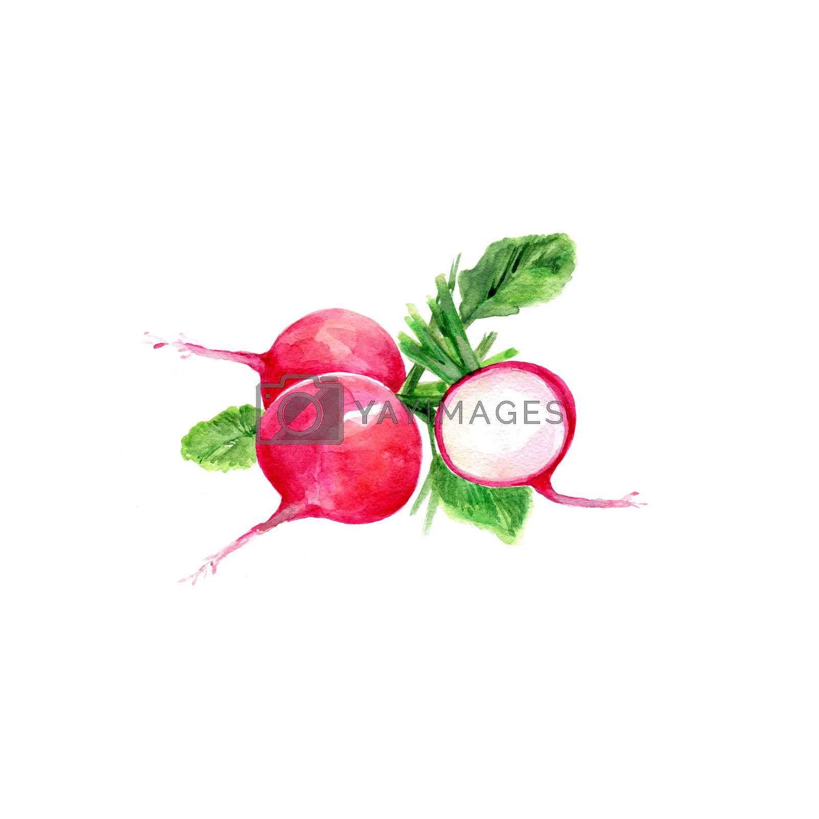 Watercolor Radishes. Hand Drawn Illustration Organic Food Vegetarian Ingredient