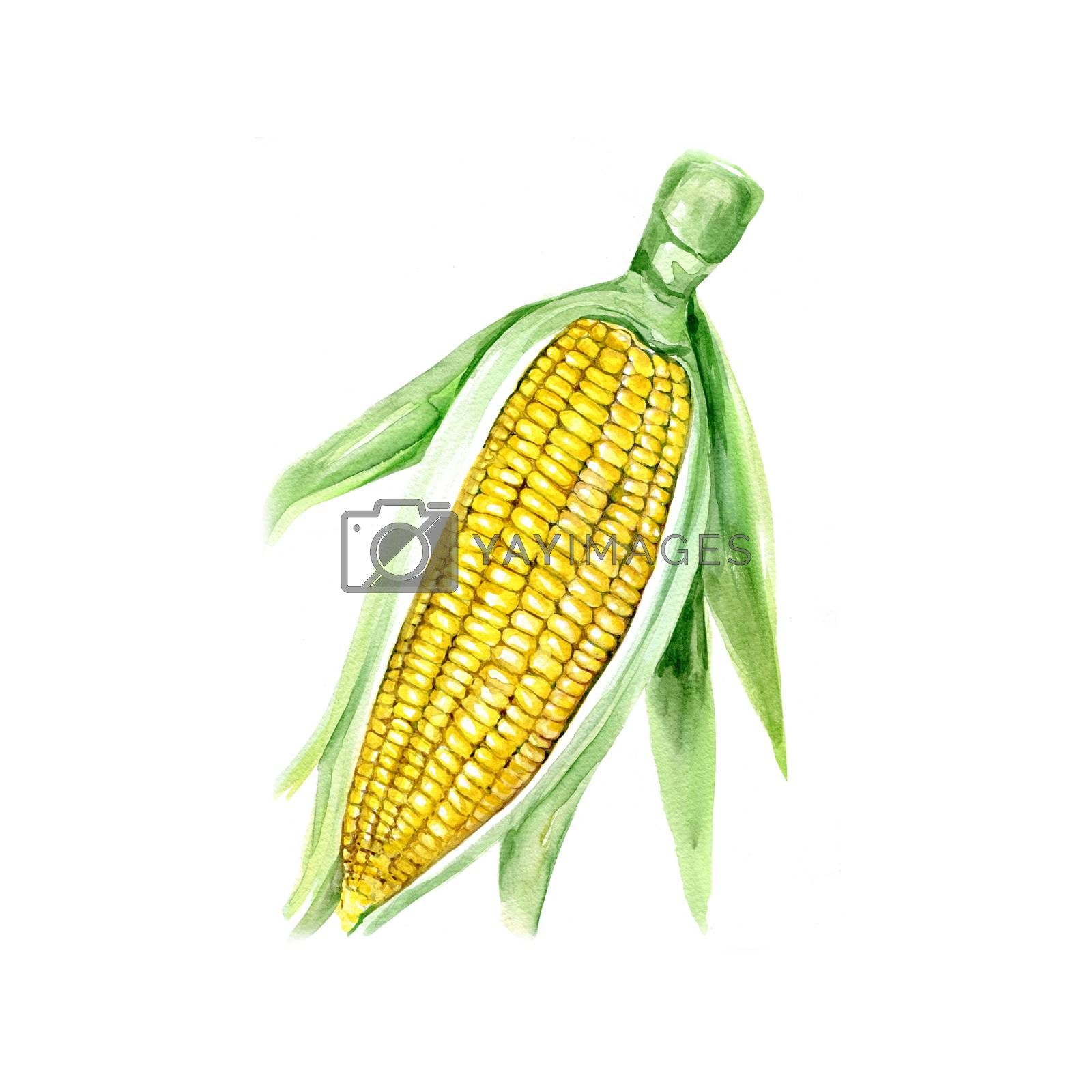 Watercolor Corn. Hand Drawn Illustration Organic Food Vegetarian Ingredient