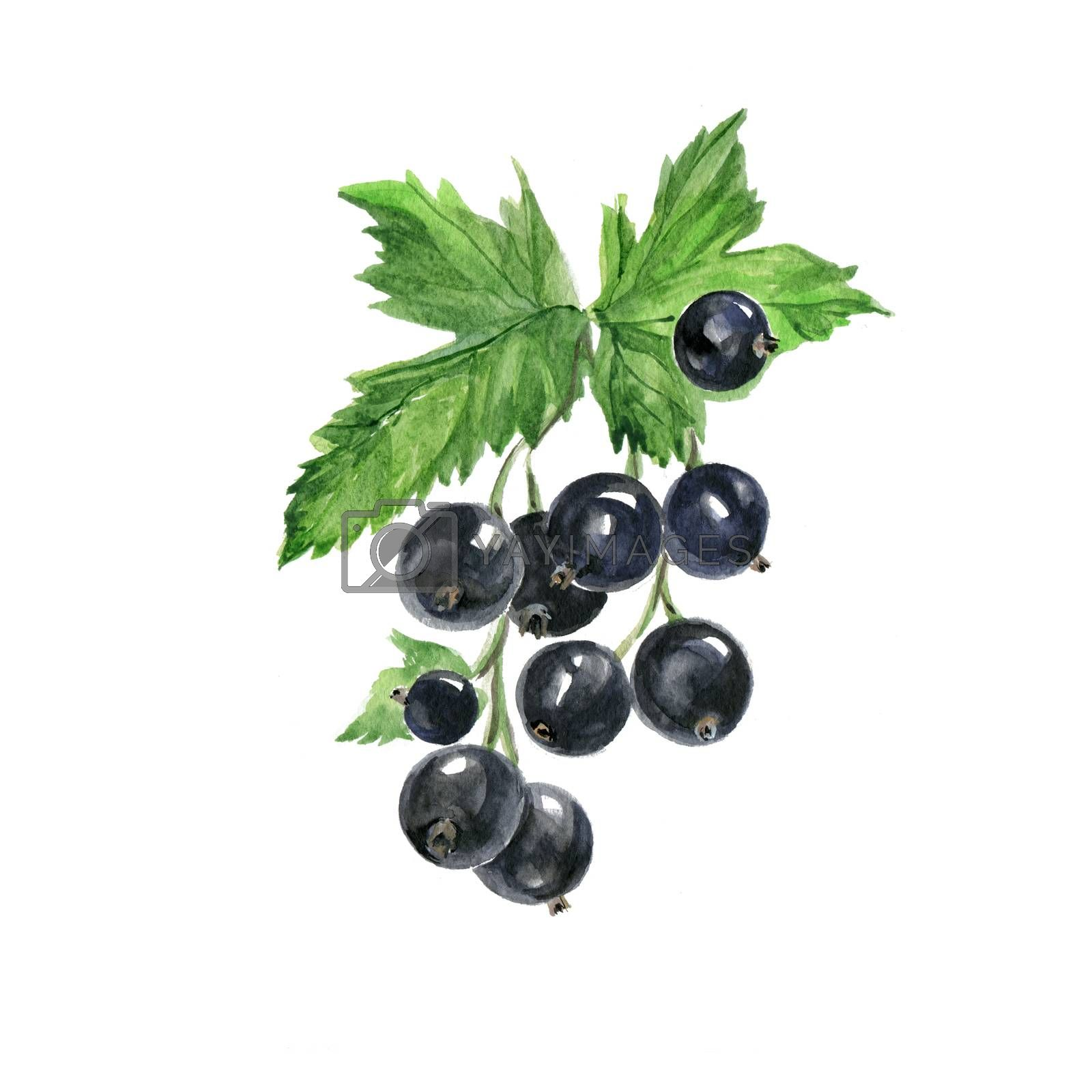 Watercolor Black Curran. Hand Drawn Illustration Organic Food Vegetarian Ingredient