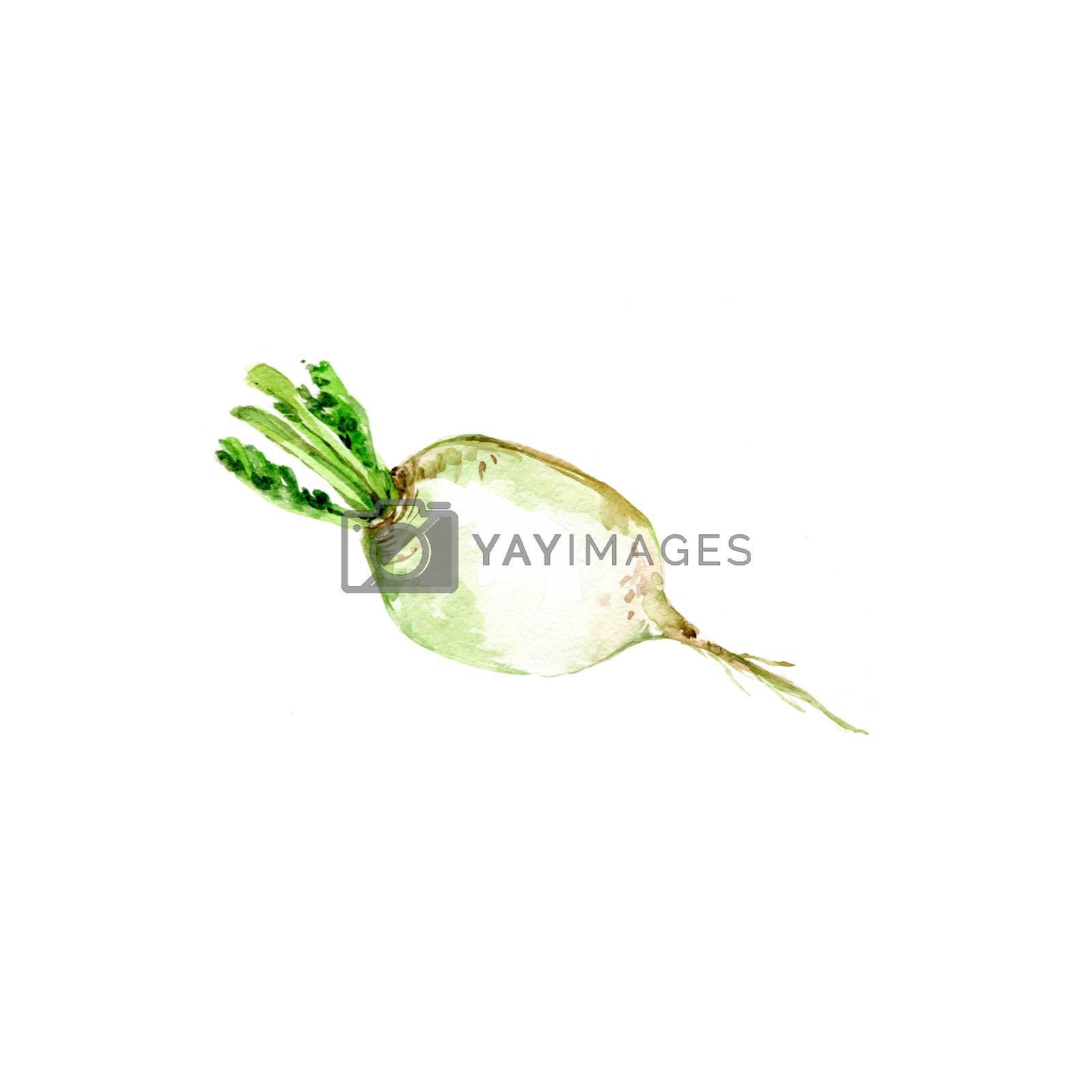 Watercolor Turnip. Hand Drawn Illustration Organic Food Vegetarian Ingredient