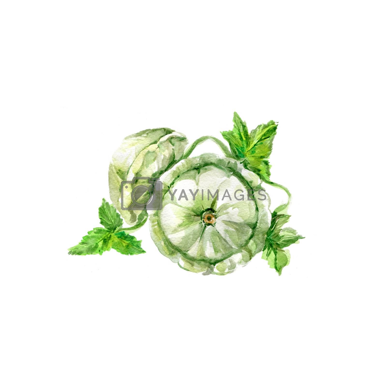 Watercolor Patisson. Hand Drawn Illustration Organic Food Vegetarian Ingredient