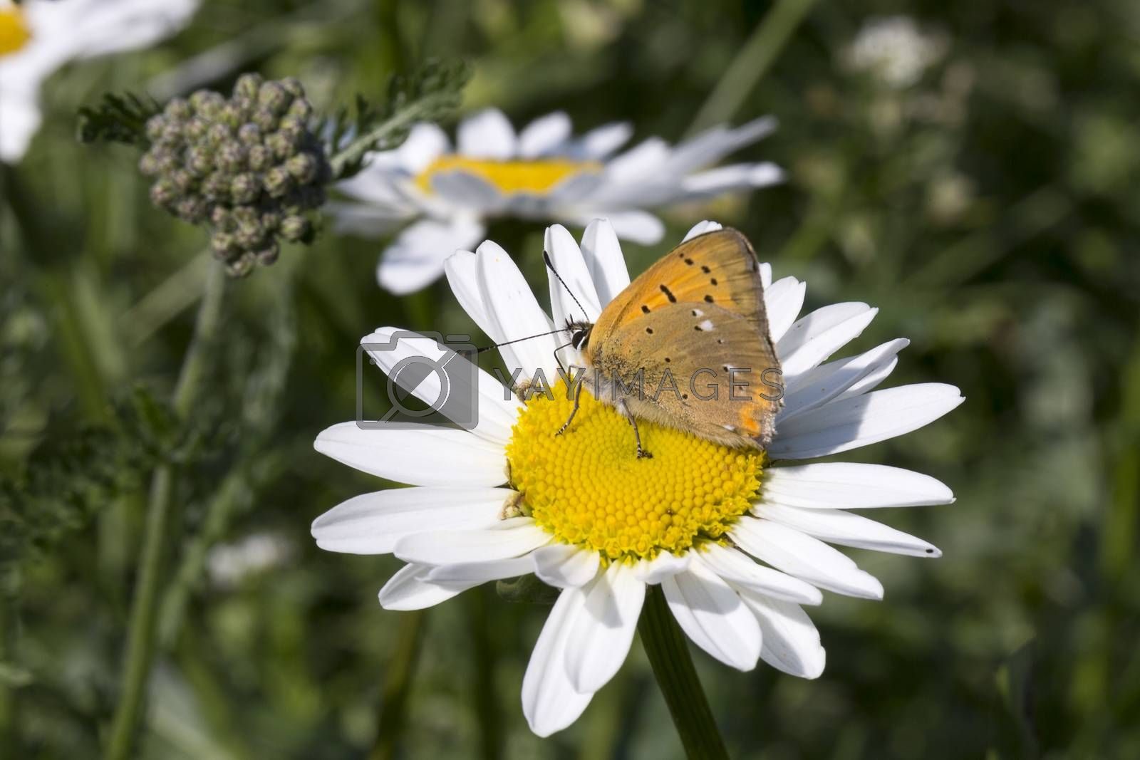 Scarce Copper butterfly on Oxeye Daisy close up.