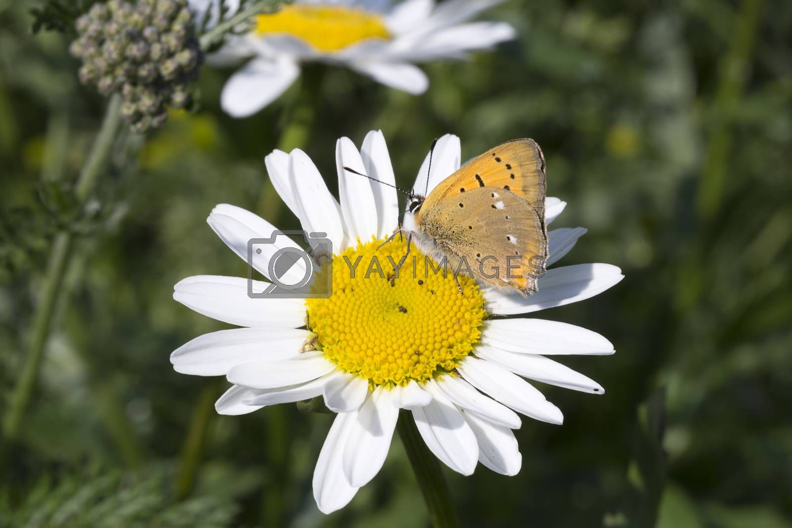 Scarce Copper butterfly on Oxeye Daisy by Emmoth