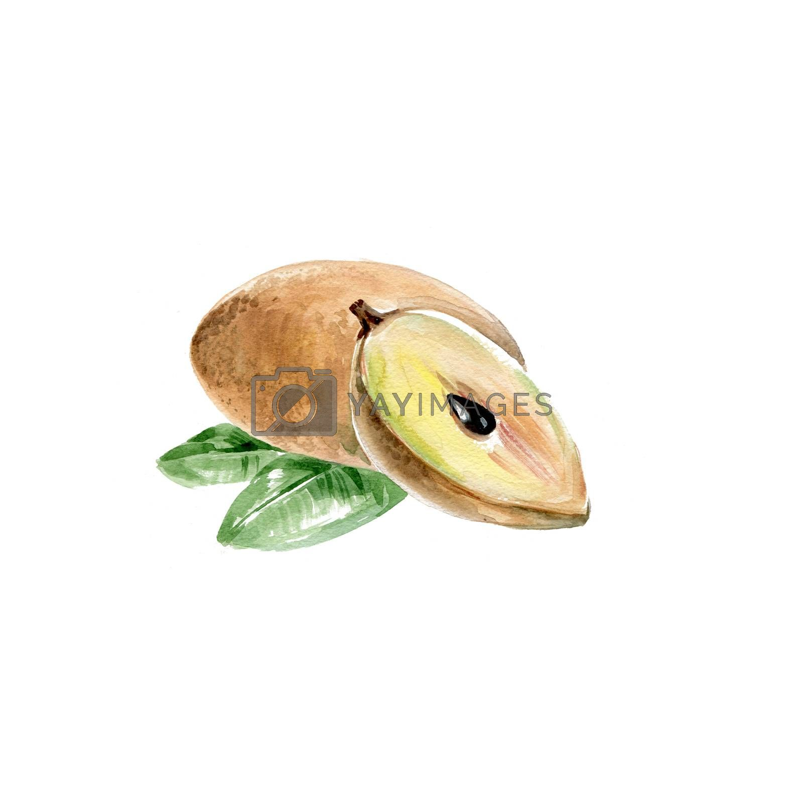 Watercolor Sapodilla. Hand Drawn Illustration Organic Food Vegetarian Ingredient