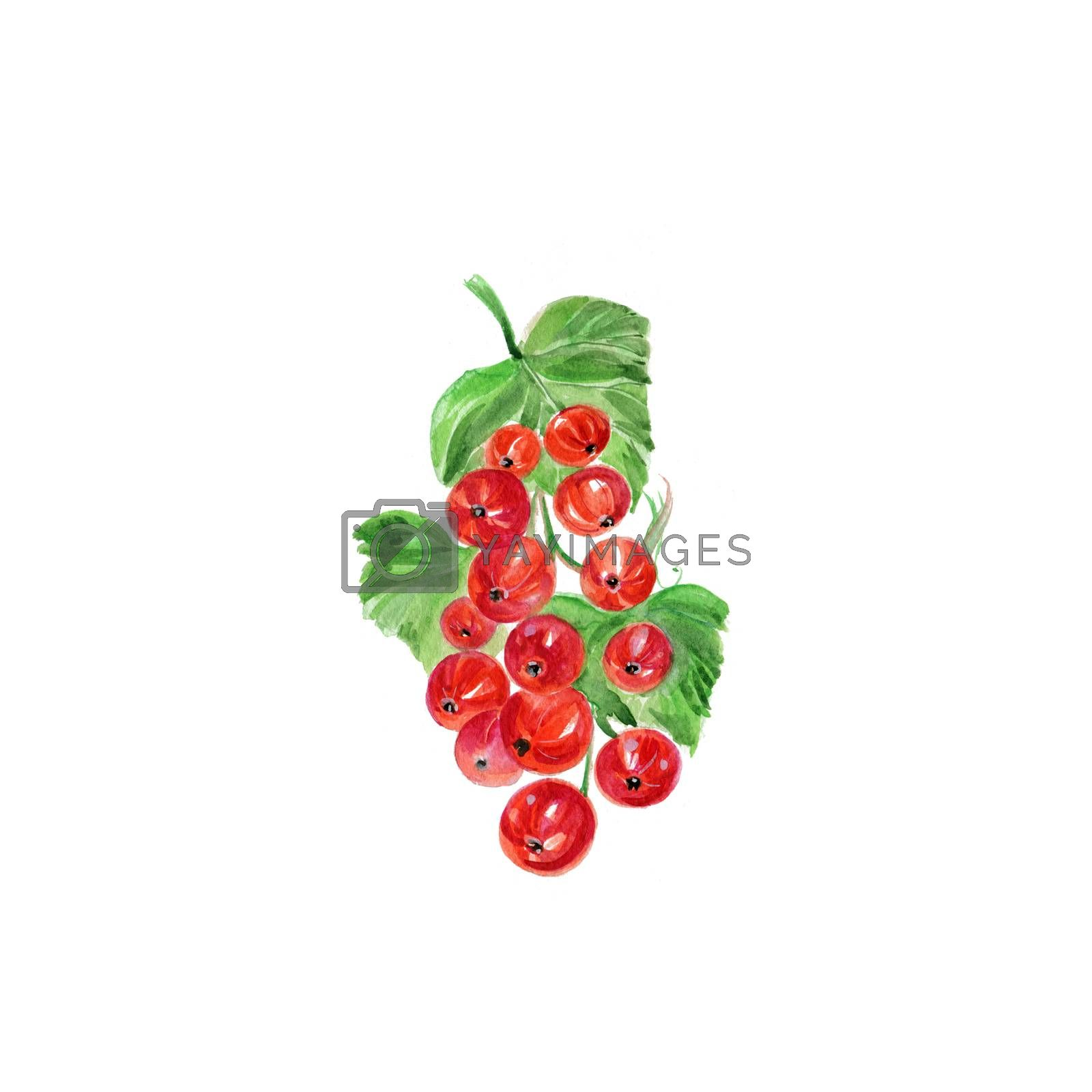Watercolor Red Currant. Hand Drawn Illustration Organic Food Vegetarian Ingredient