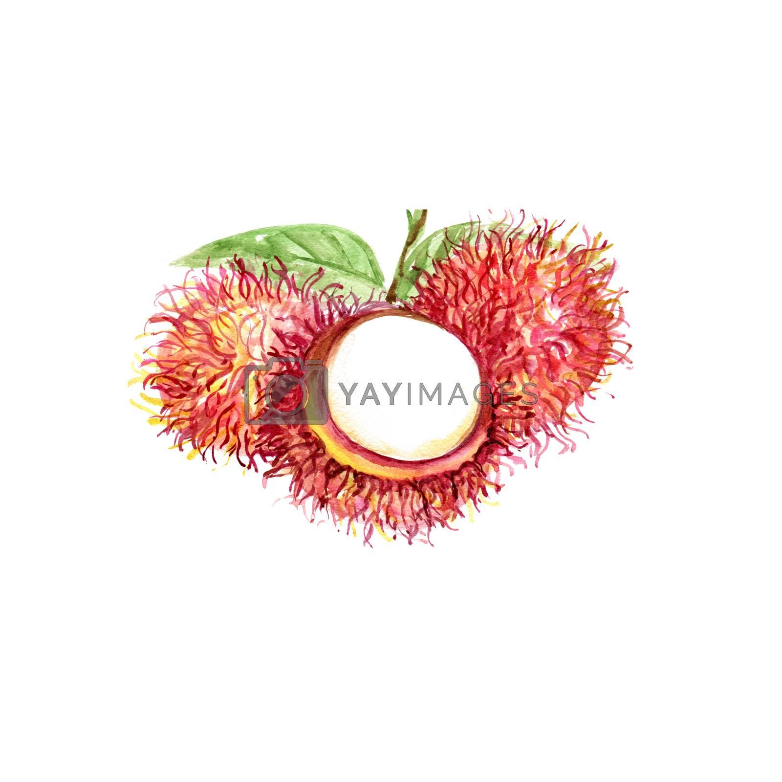 Watercolor Rambutan. Hand Drawn Illustration Organic Food Vegetarian Ingredient