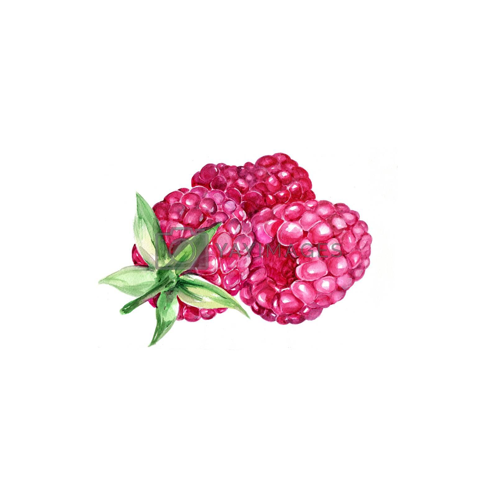 Watercolor Raspberry. Hand Drawn Illustration Organic Food Vegetarian Ingredient