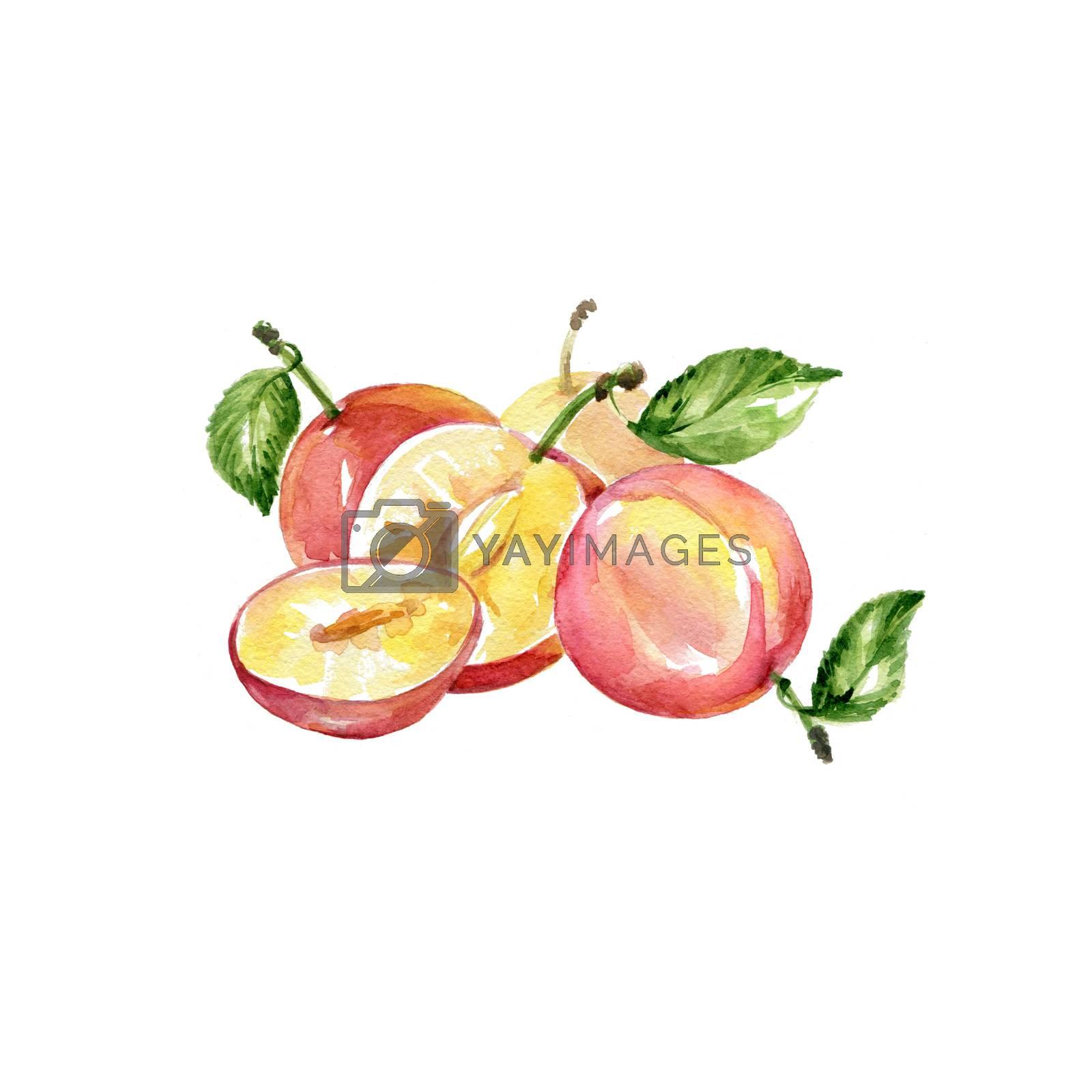 Watercolor Fresh Plum. Hand Drawn Illustration Organic Food Vegetarian Ingredient
