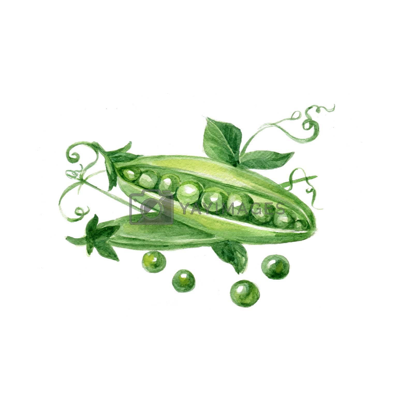 Watercolor Peas. Hand Drawn Illustration Organic Food Vegetarian Ingredient