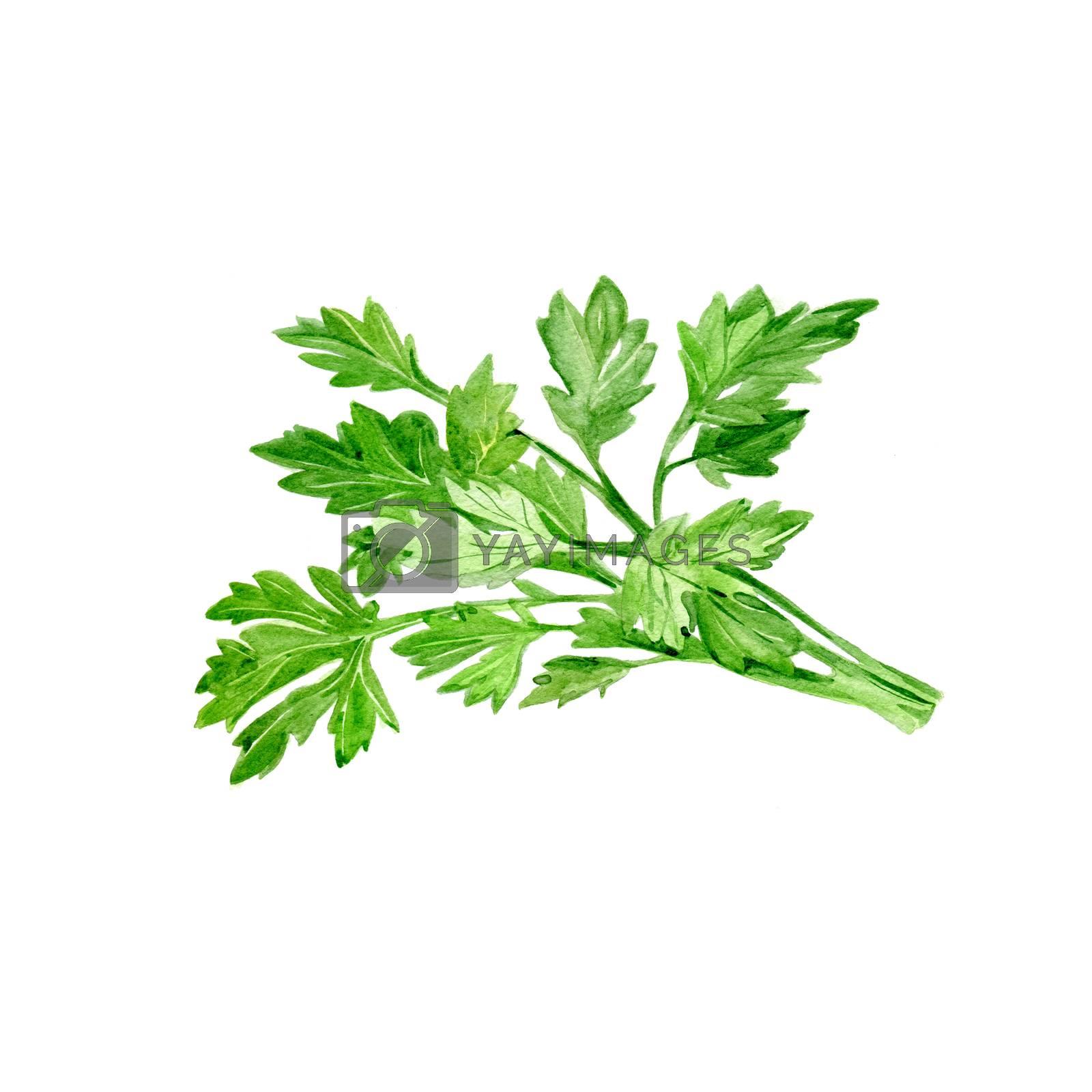 Watercolor Parsley. Hand Drawn Illustration Organic Food Vegetarian Ingredient