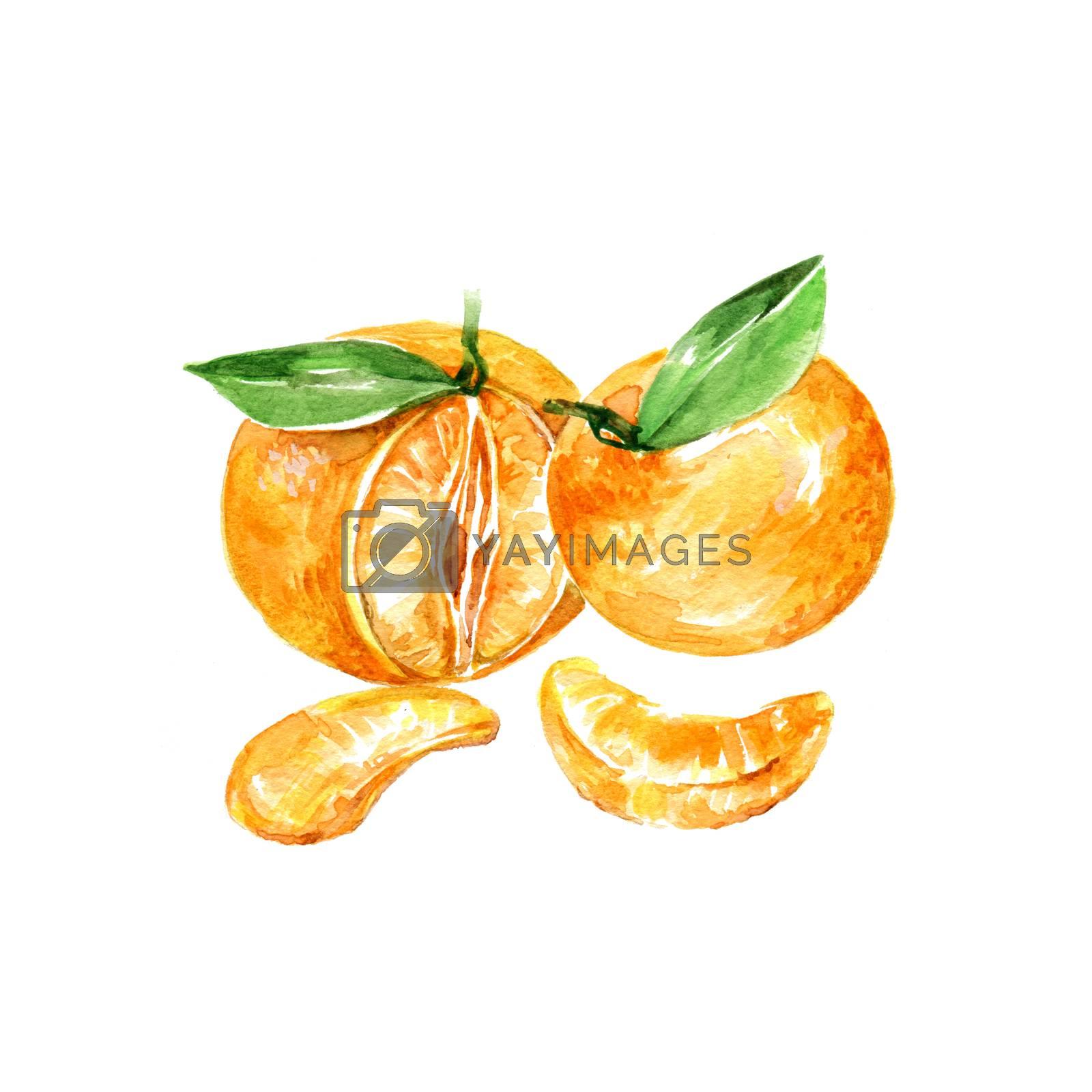 Watercolor Mandarin. Hand Drawn Illustration Organic Food Vegetarian Ingredient